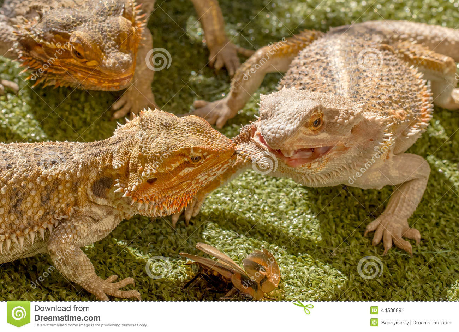 Pogona reptiles