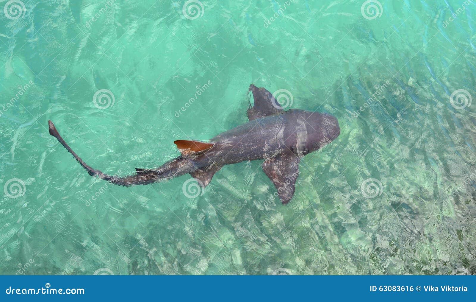 Download Requin photo stock. Image du récif, attaque, rare, pêche - 63083616