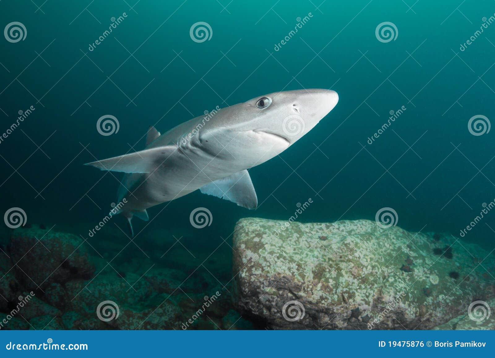Requin curieux