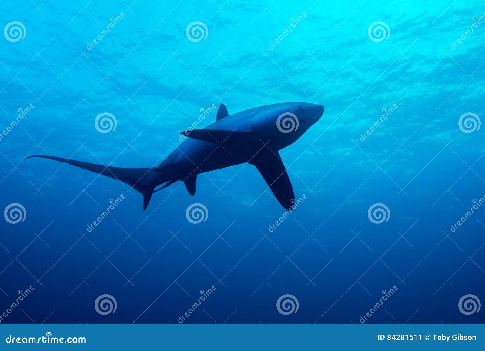 Requin de batteuse