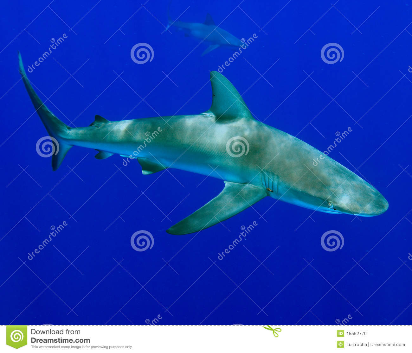 Requin de Galapagos