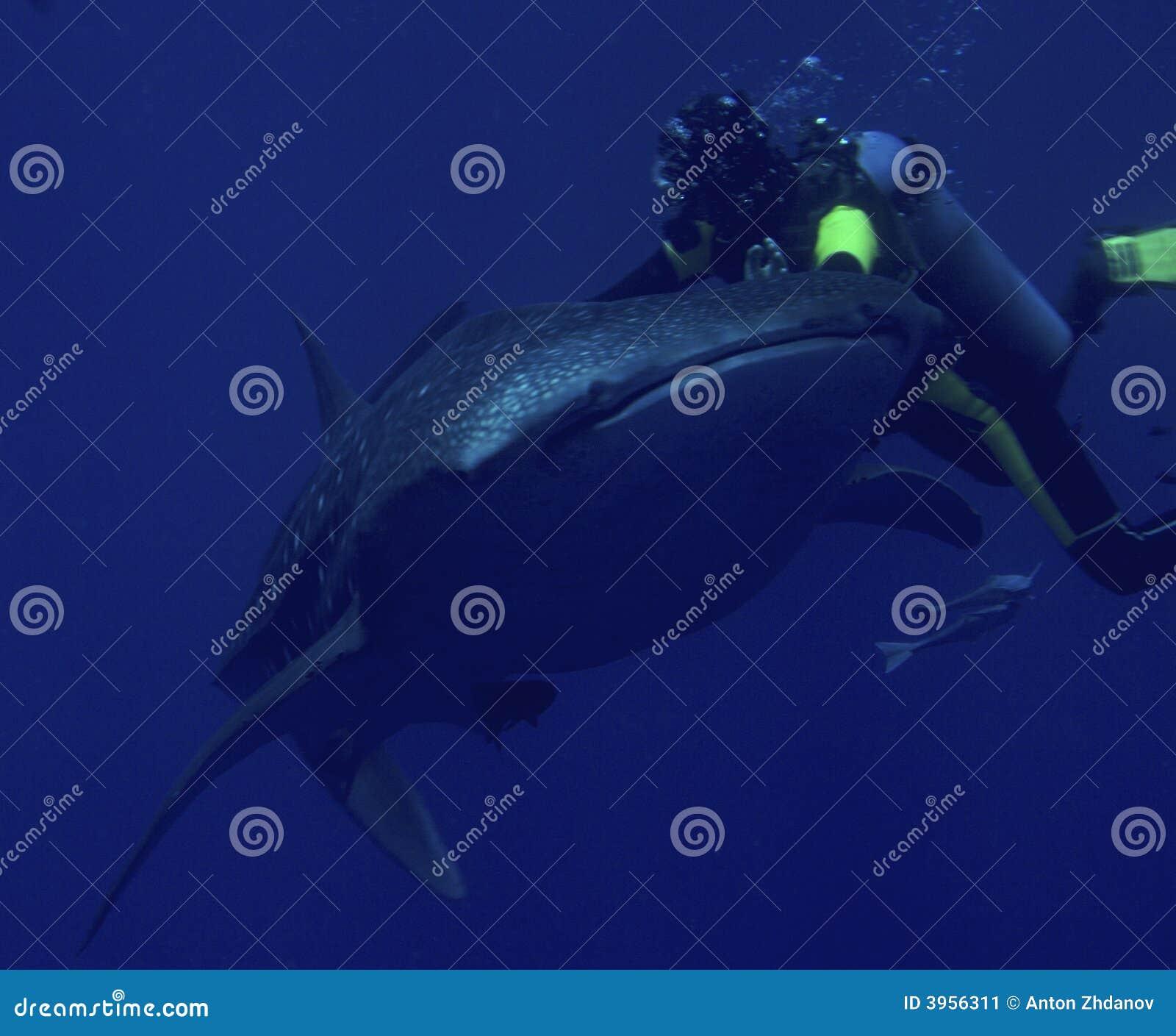 Requin de plongeur et de baleine