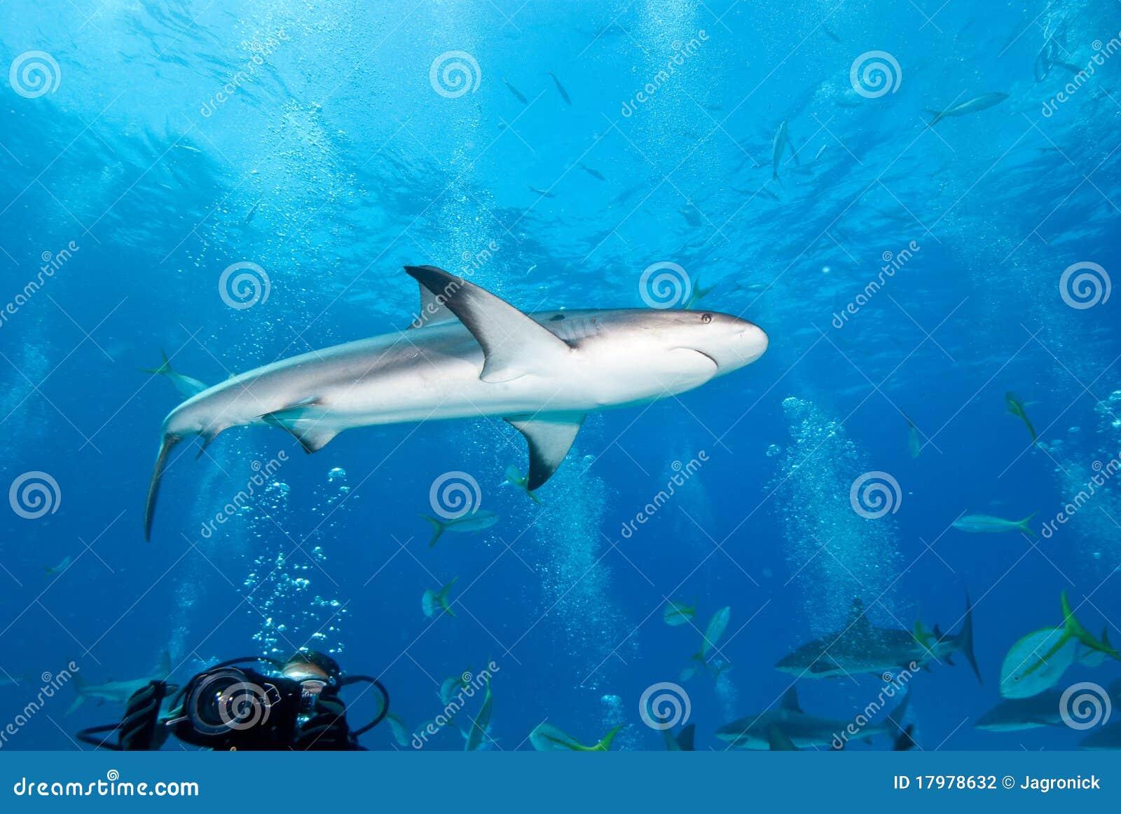Requin de récif dans les Caraïbe