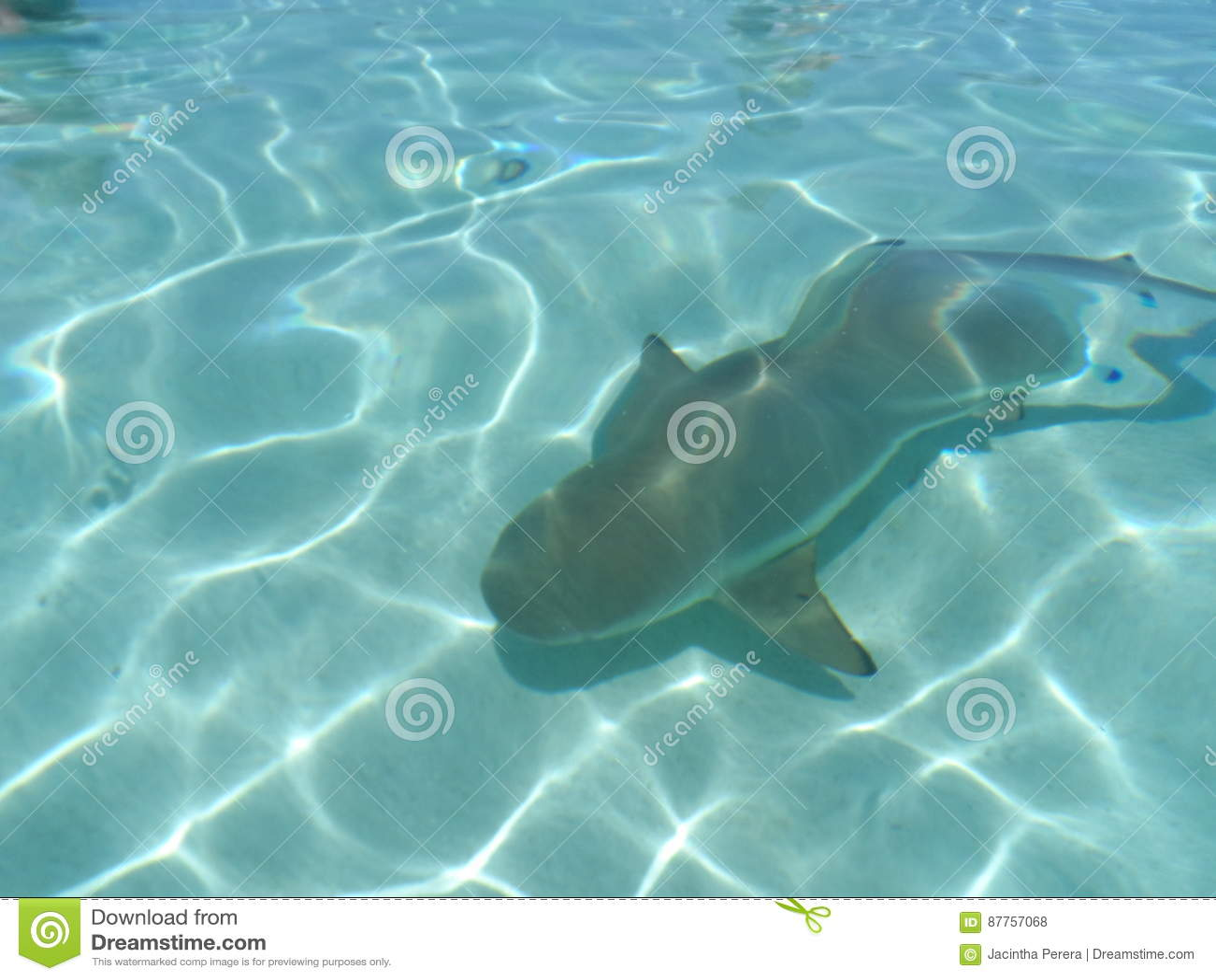Requin noir d extrémité