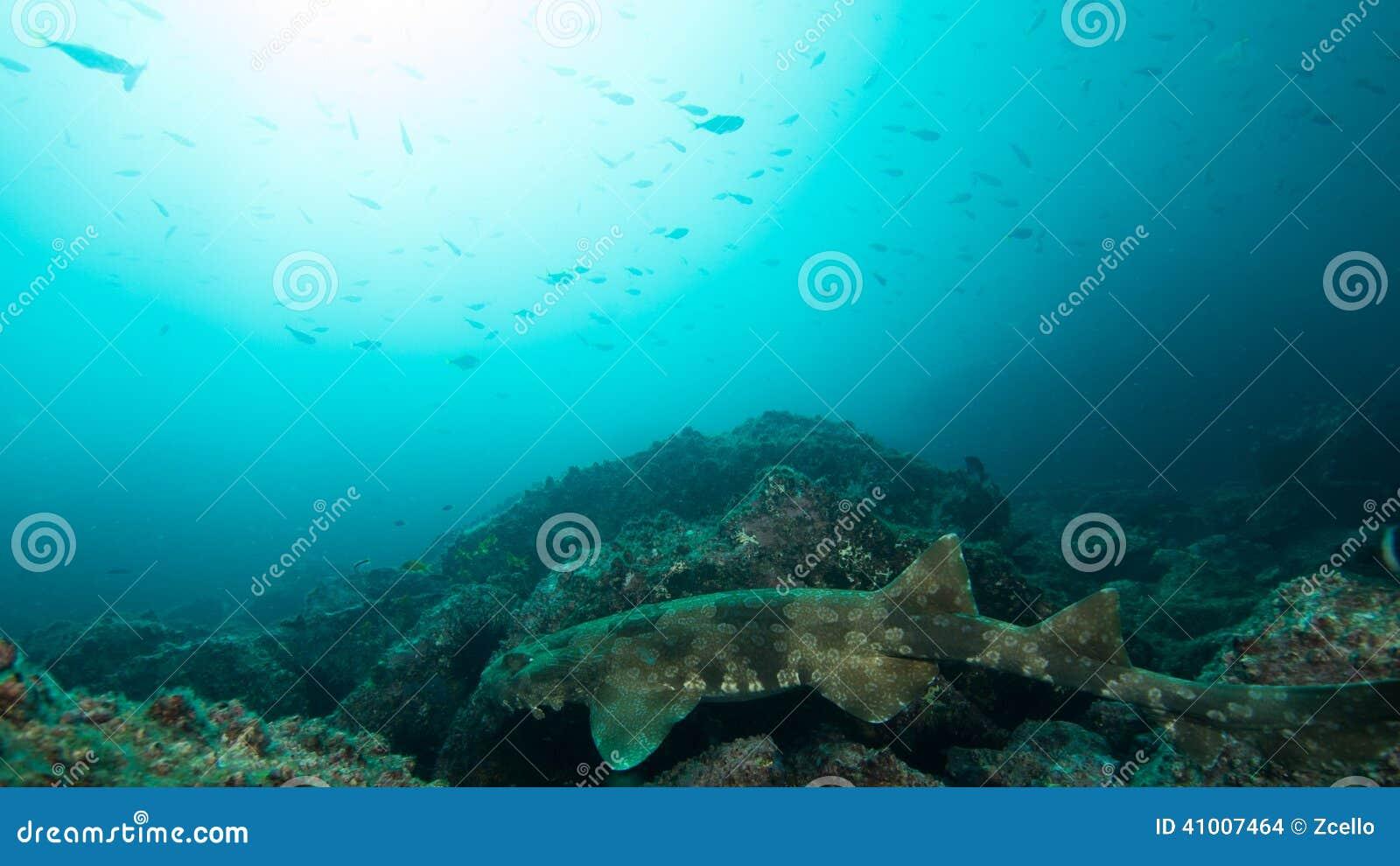 Requin repéré de Wobbegong sur la roche