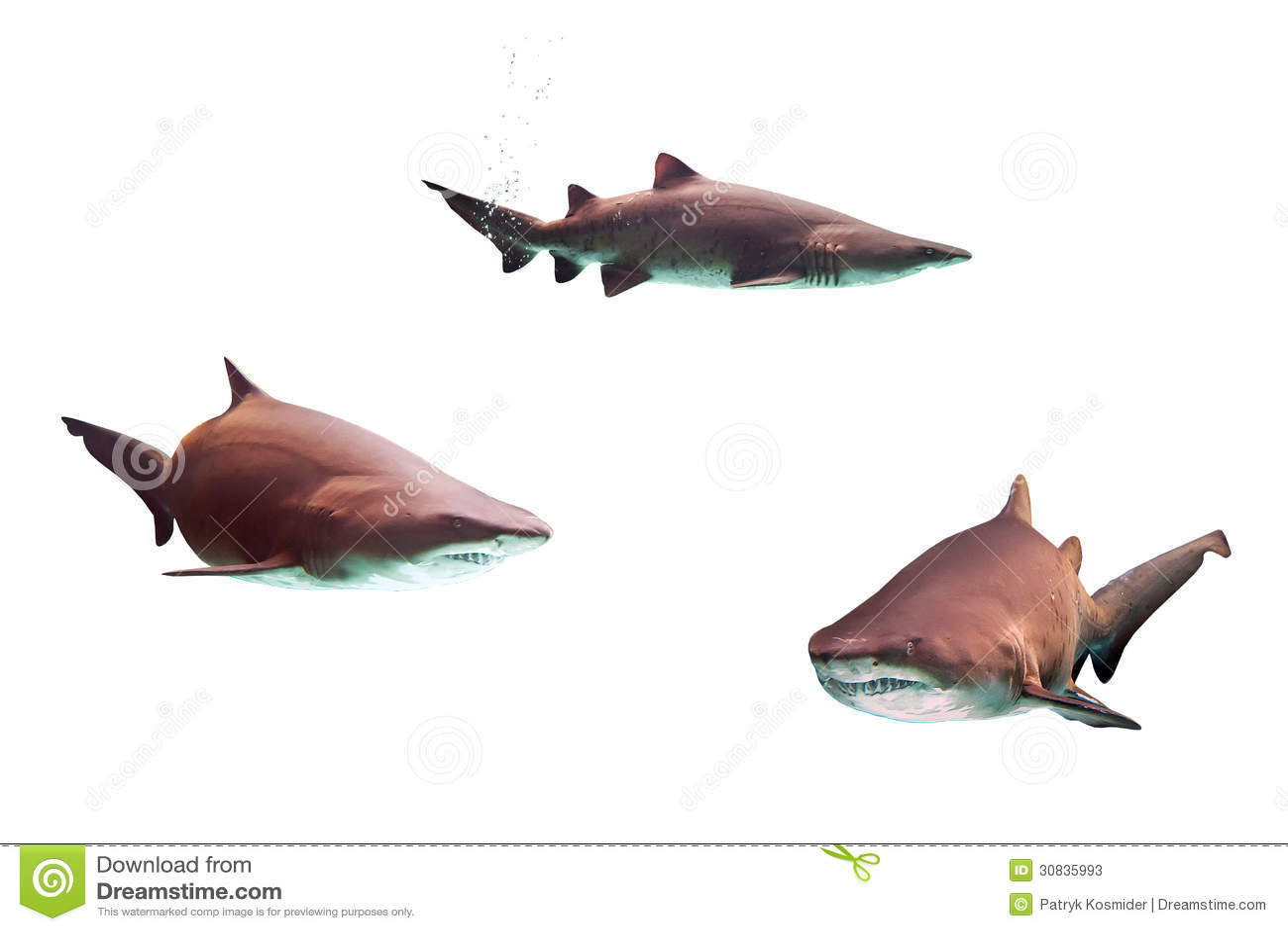 Requins de taureau dangereux