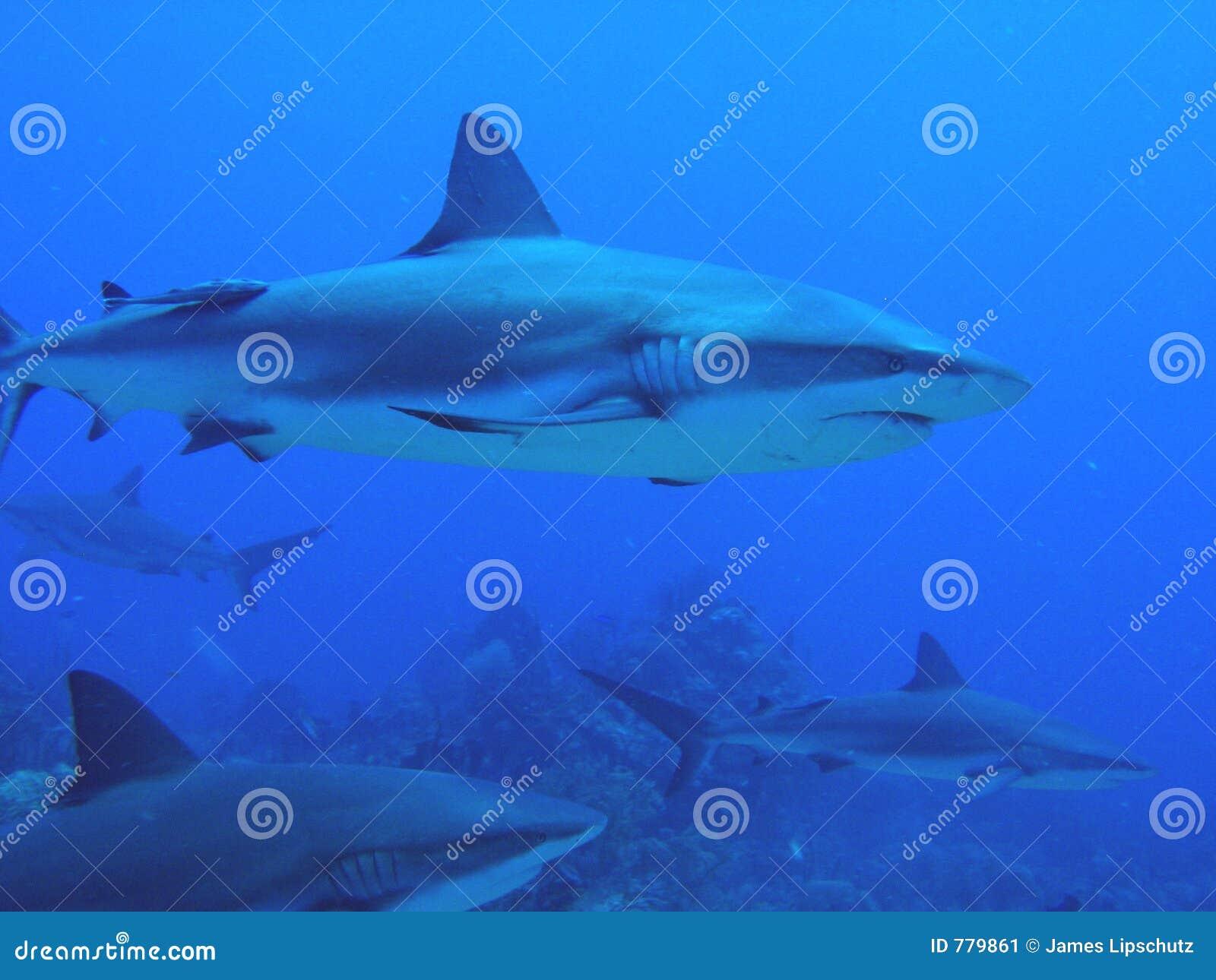 Requins nageant par le récif