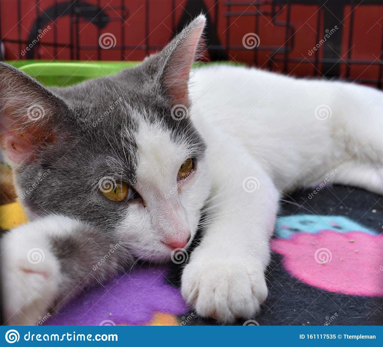 Rescue Kitten Turns On Charm For Potential Adopters Stock Image Image Of Eyes Oktoberfest 161117535