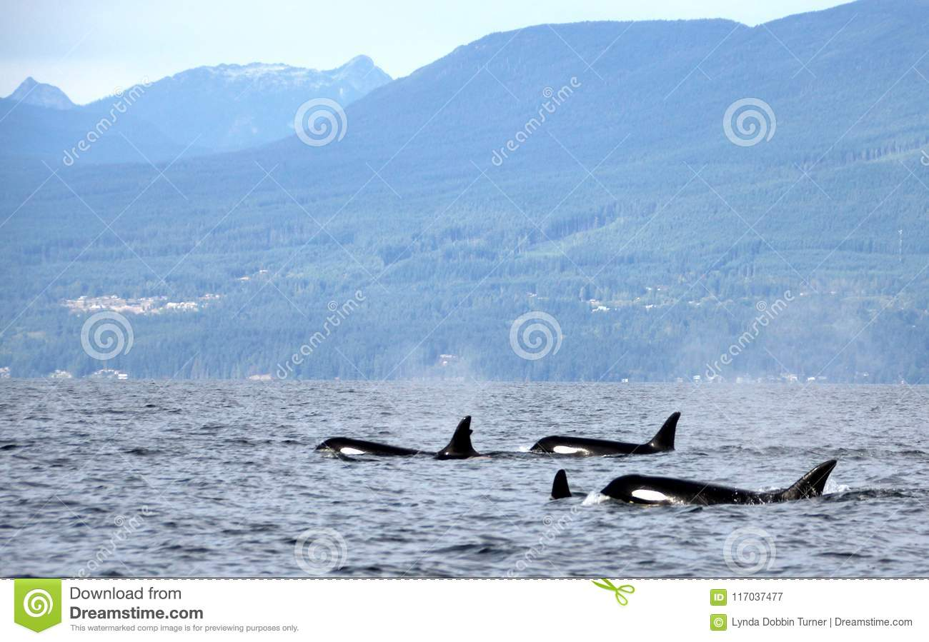 Pod of Resident Orcas of the coast near Sechelt, BC
