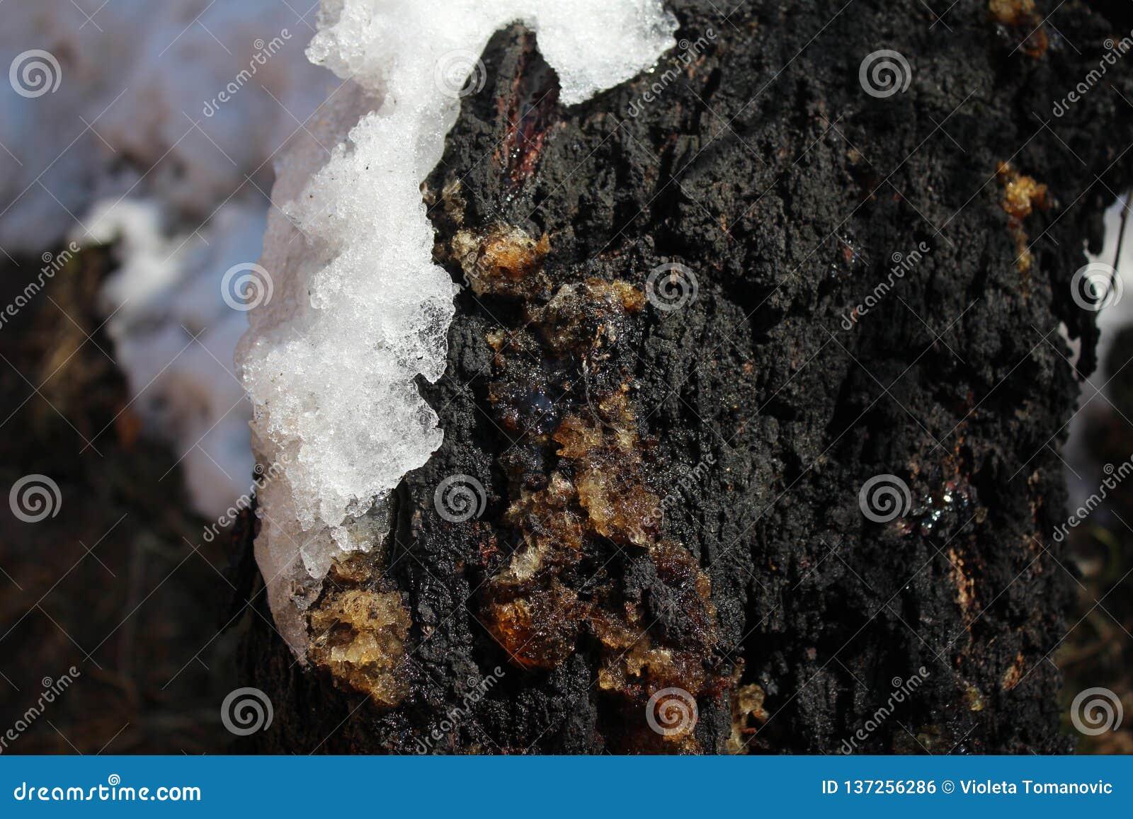 Resina na árvore do abricó na neve