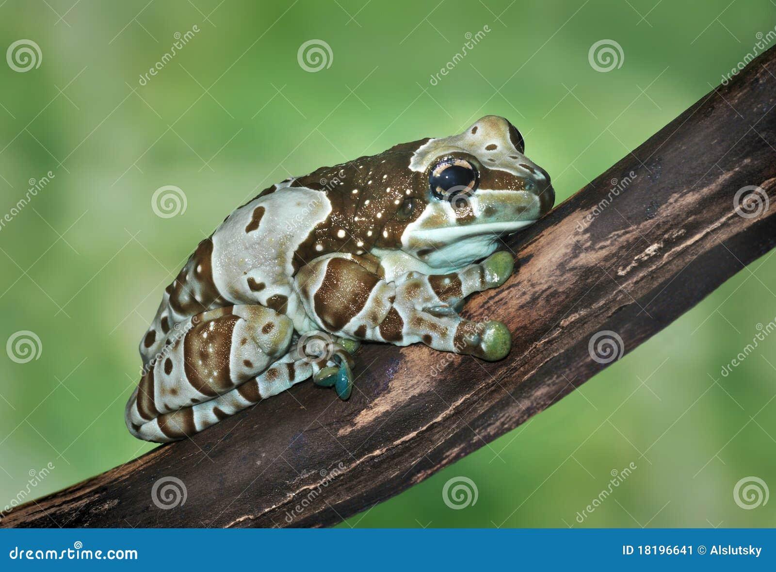 Resinifictrix de Trachycephalus (grenouille de harlequin)