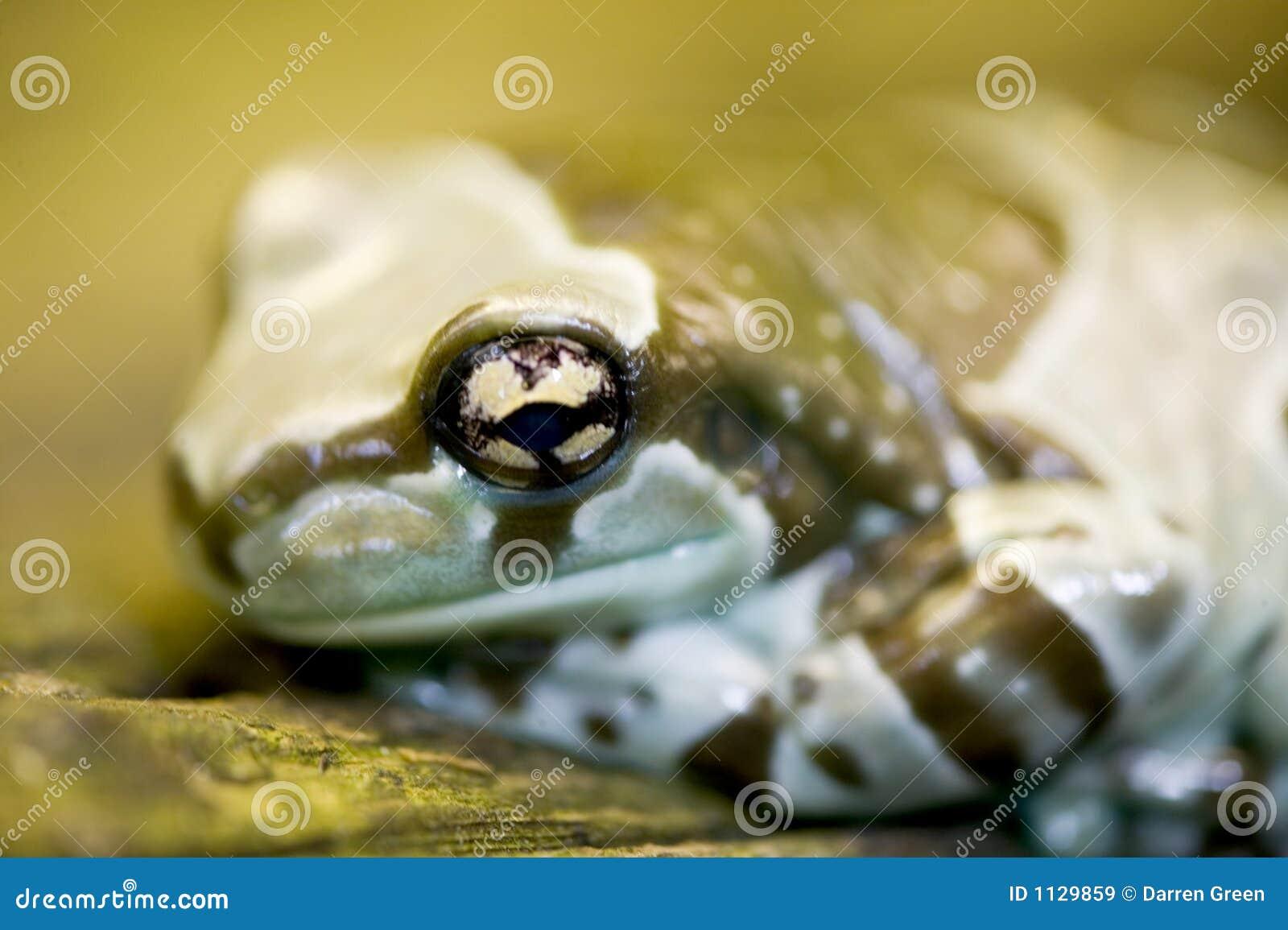 Resinifictrix phrynohyas молока лягушки Амазонкы