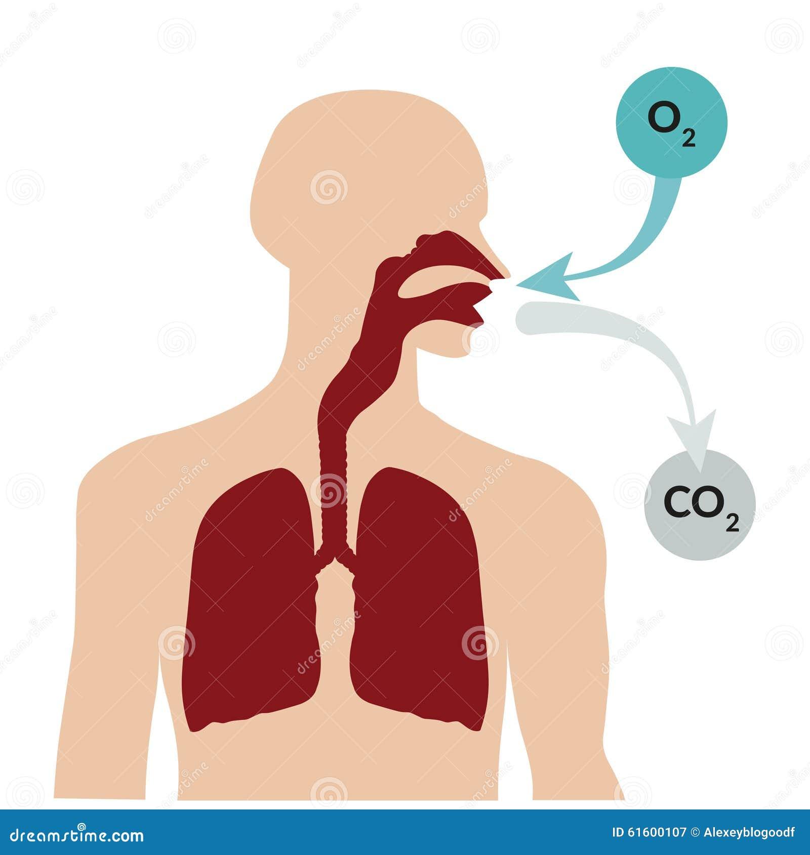 Circuito Respiratorio : Circuitos respiratorios extensibles para anestesia compact de