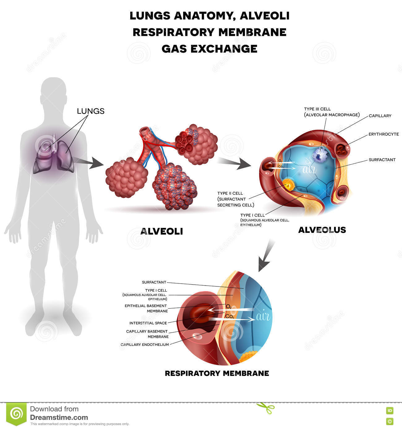 Respiration Organs Poster Stock Vector Illustration Of Graphic