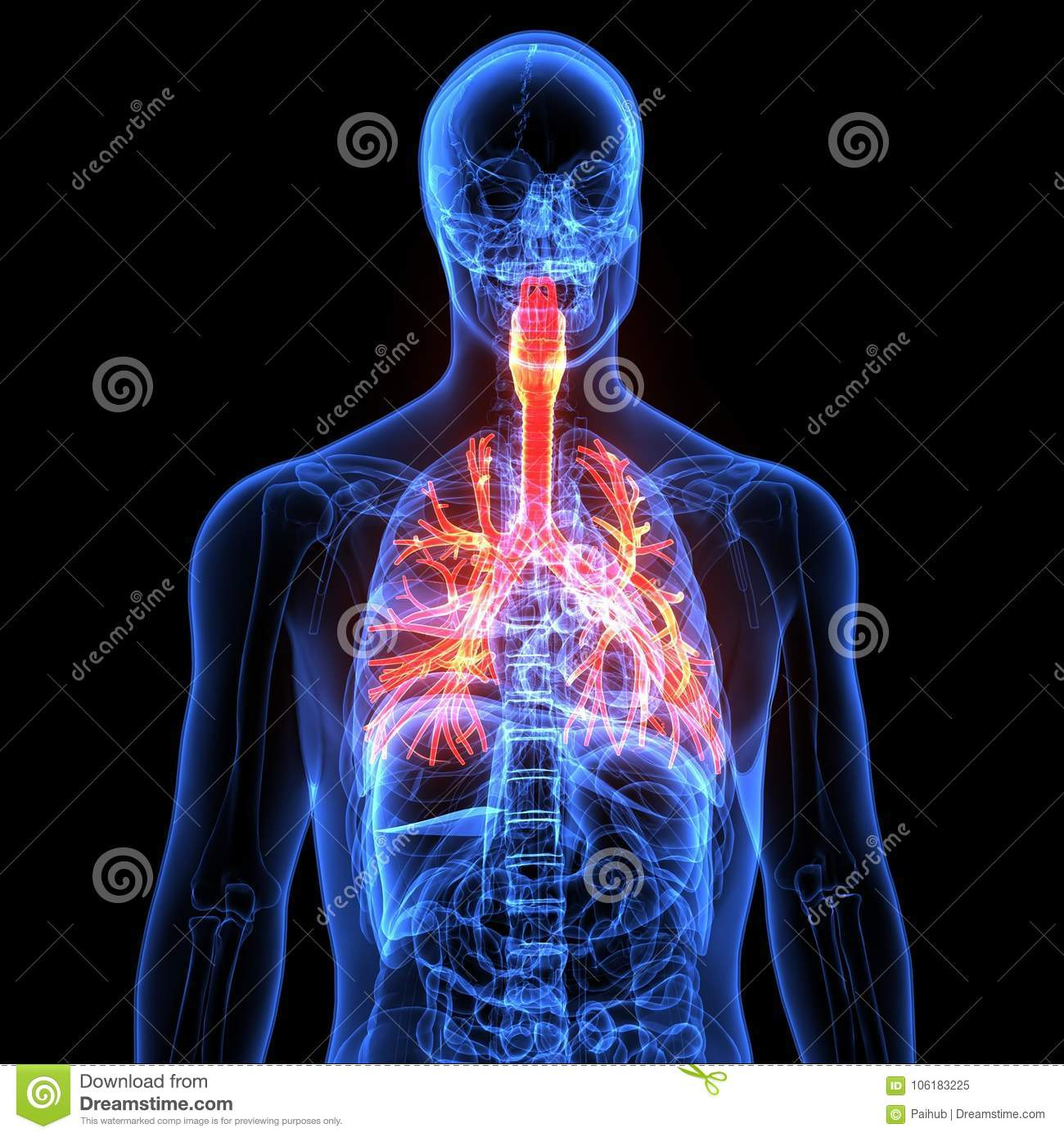 Male Anatomy Of Human Respiratory System In X-ray. 3d Render ...