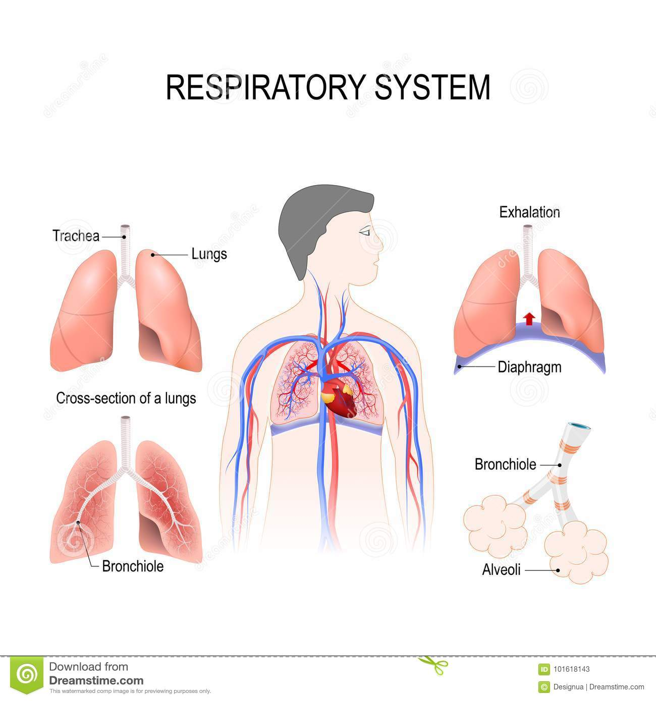 2a4752f2edb Respiratory system stock vector. Illustration of diagram - 101618143