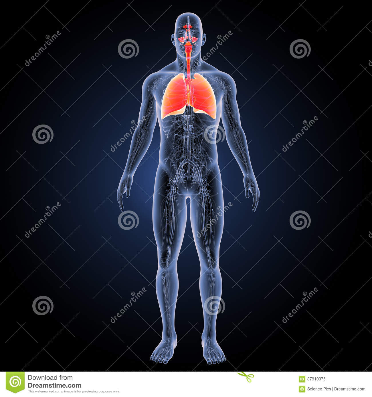 Respiratory System And Heart With Circulatory System Anterior View