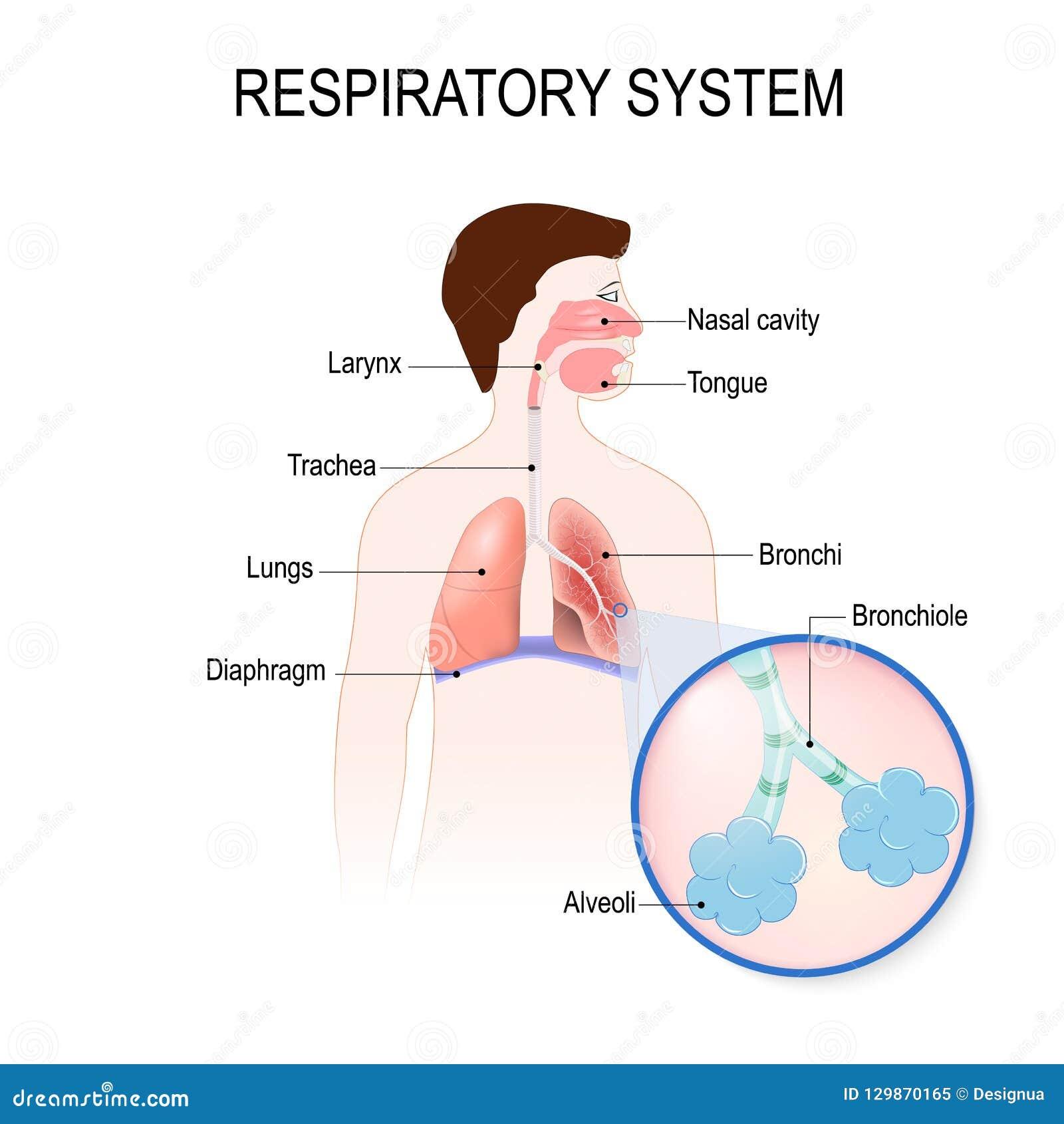 Respiratory System Human Anatomy Stock Vector Illustration Of