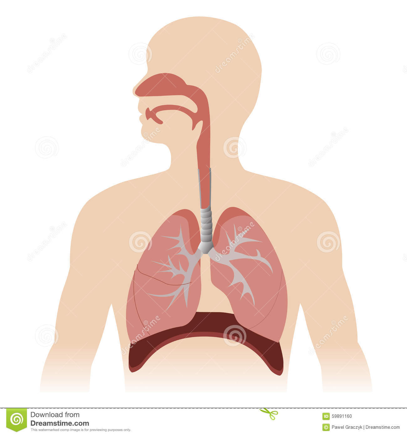Respiratory System Stock Vector Illustration Of Respiratory 59891160