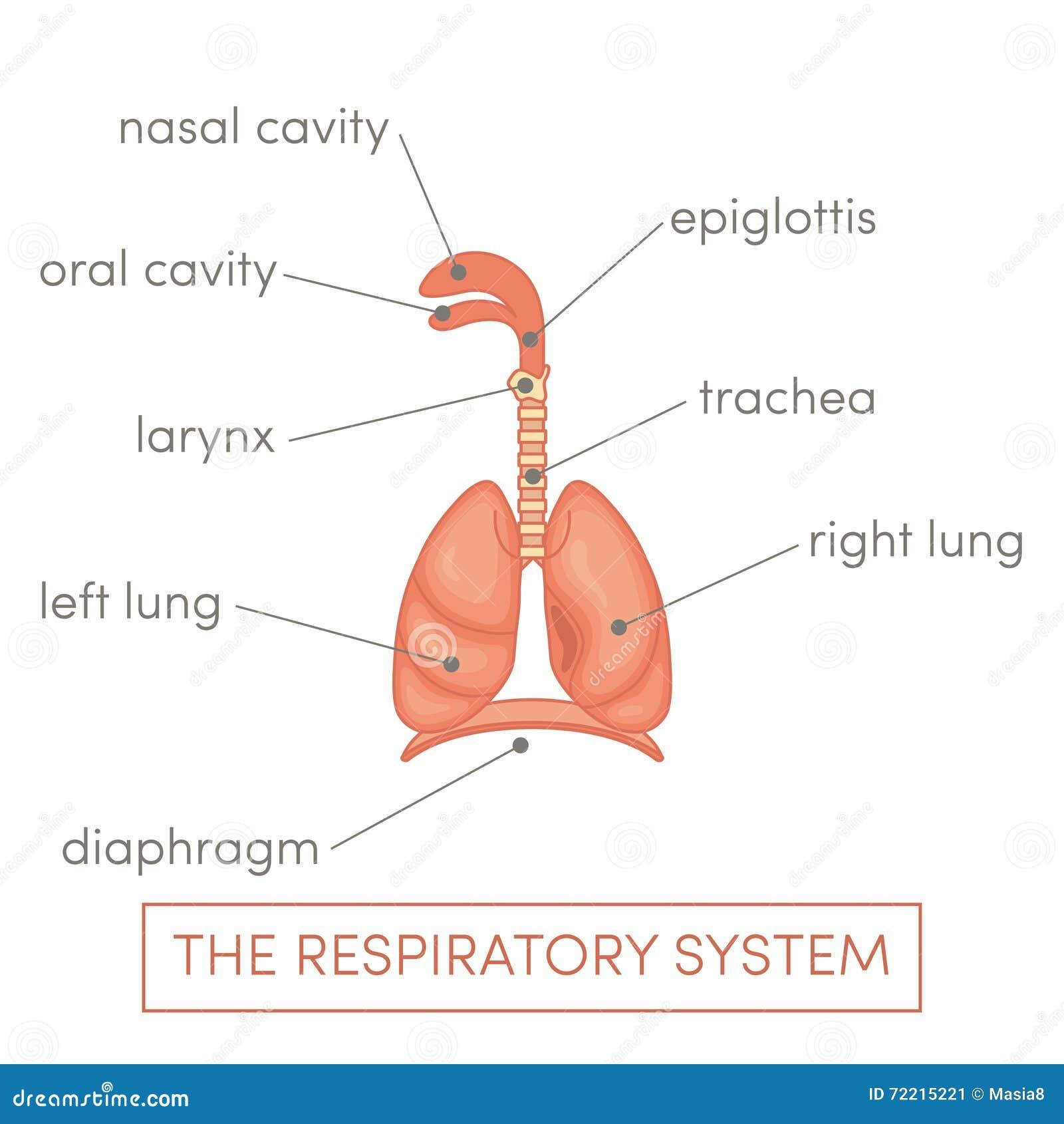 Respiratory System Stock Illustration Illustration Of Medical