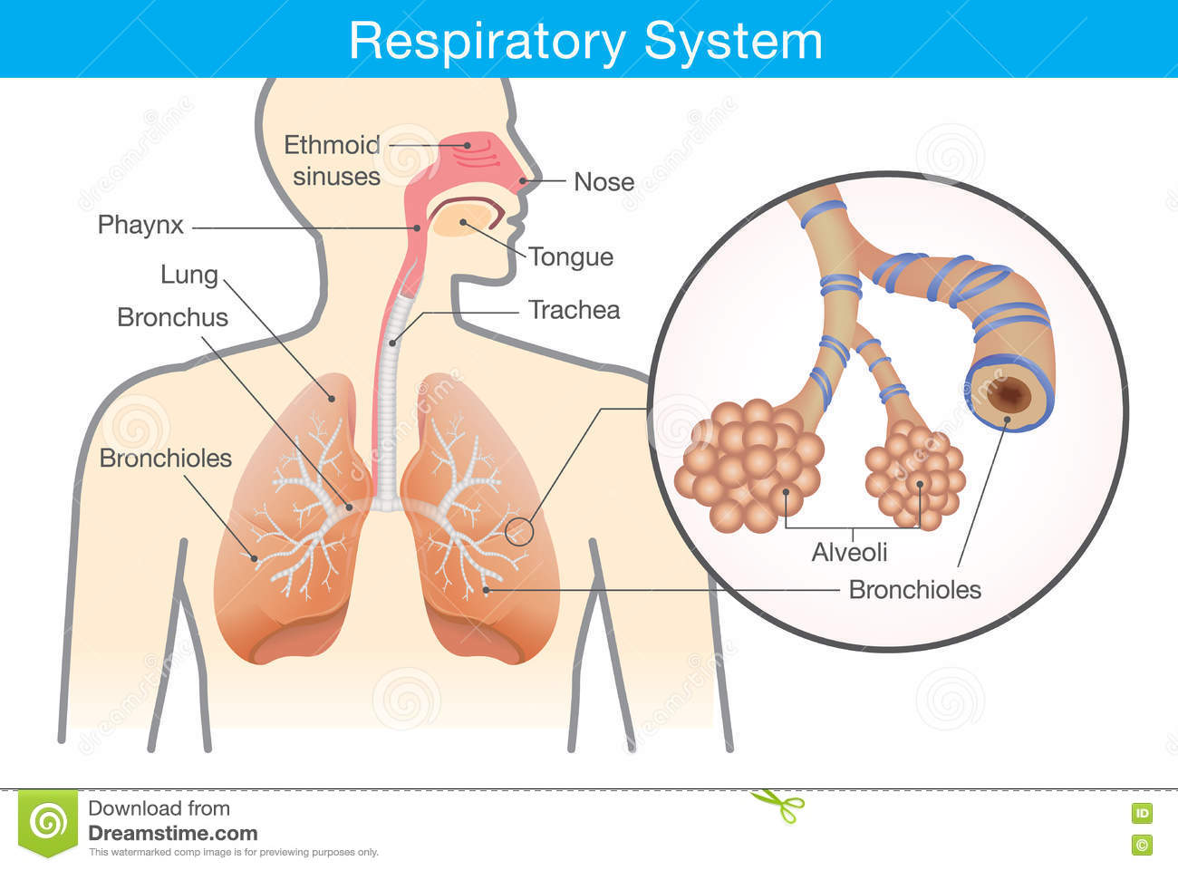 Respiratory System Of Human. Stock Vector - Illustration of disease ...