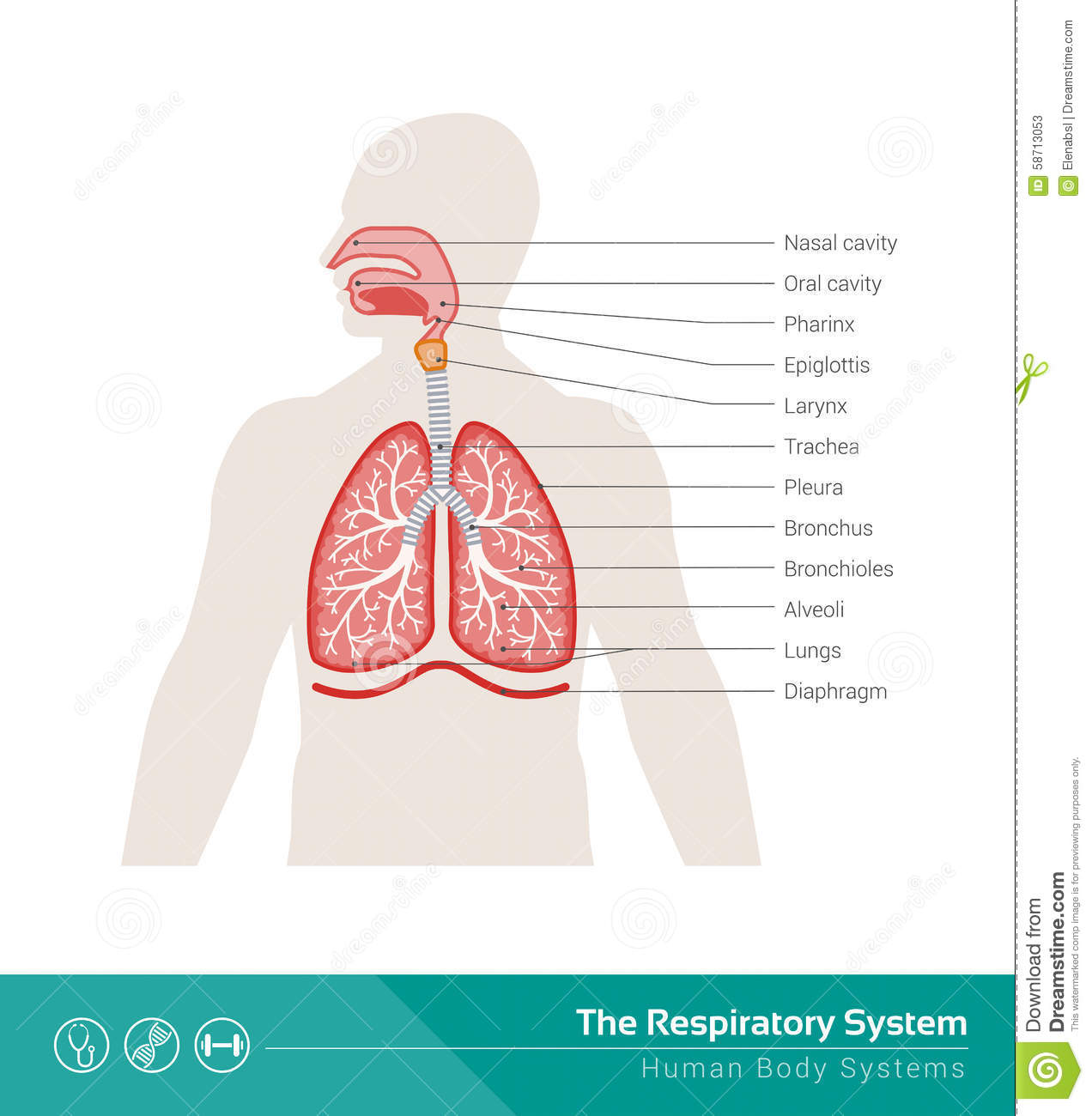 Respiratory System Human Medical Illustration Internal Organs