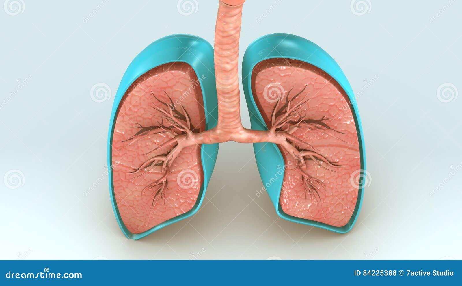 Respiratory System Stock Illustration Illustration Of Illustration