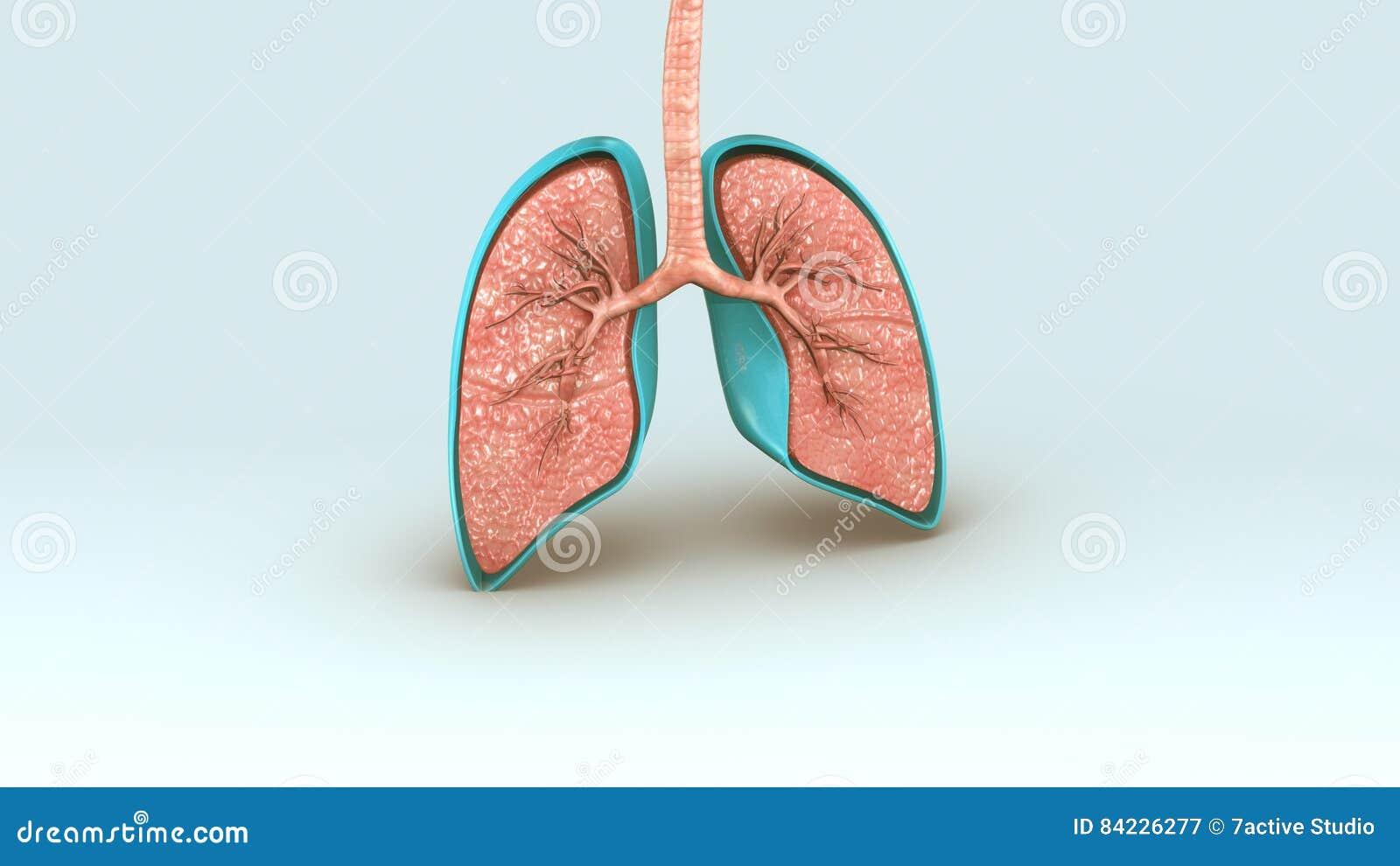 Respiratory System stock illustration. Illustration of anatomy ...