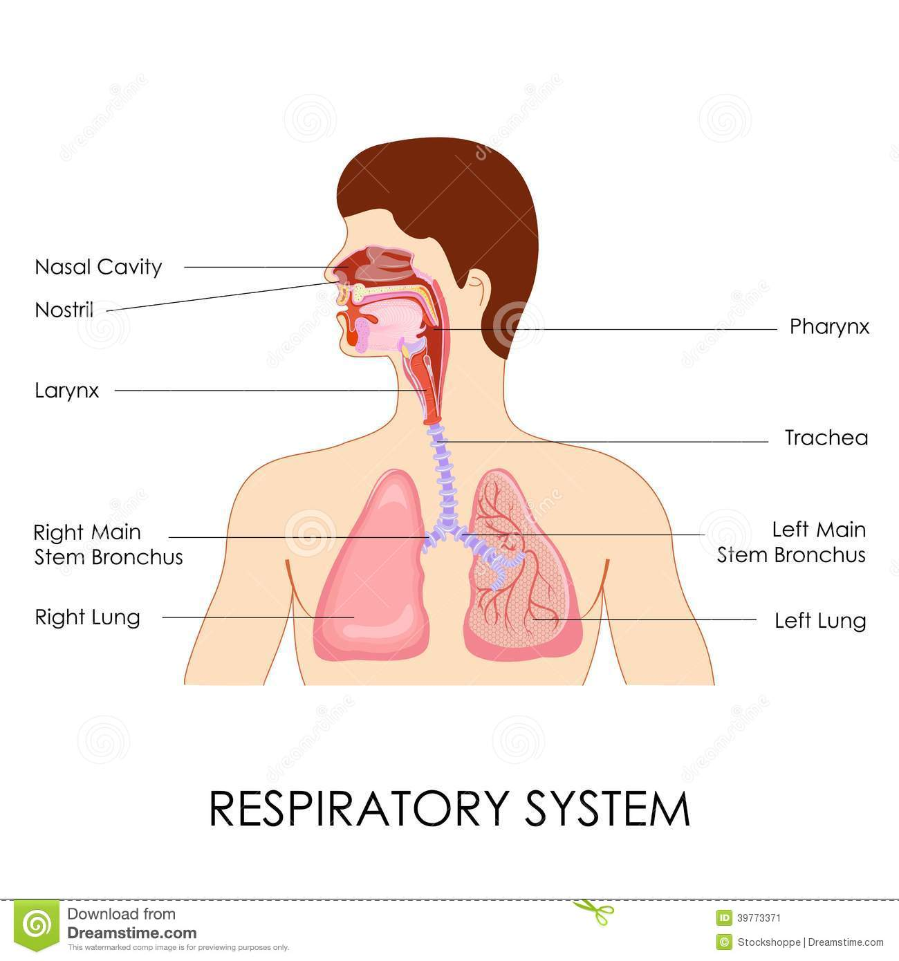 Respiratory system stock vector illustration of breathe 39773371 ccuart Choice Image