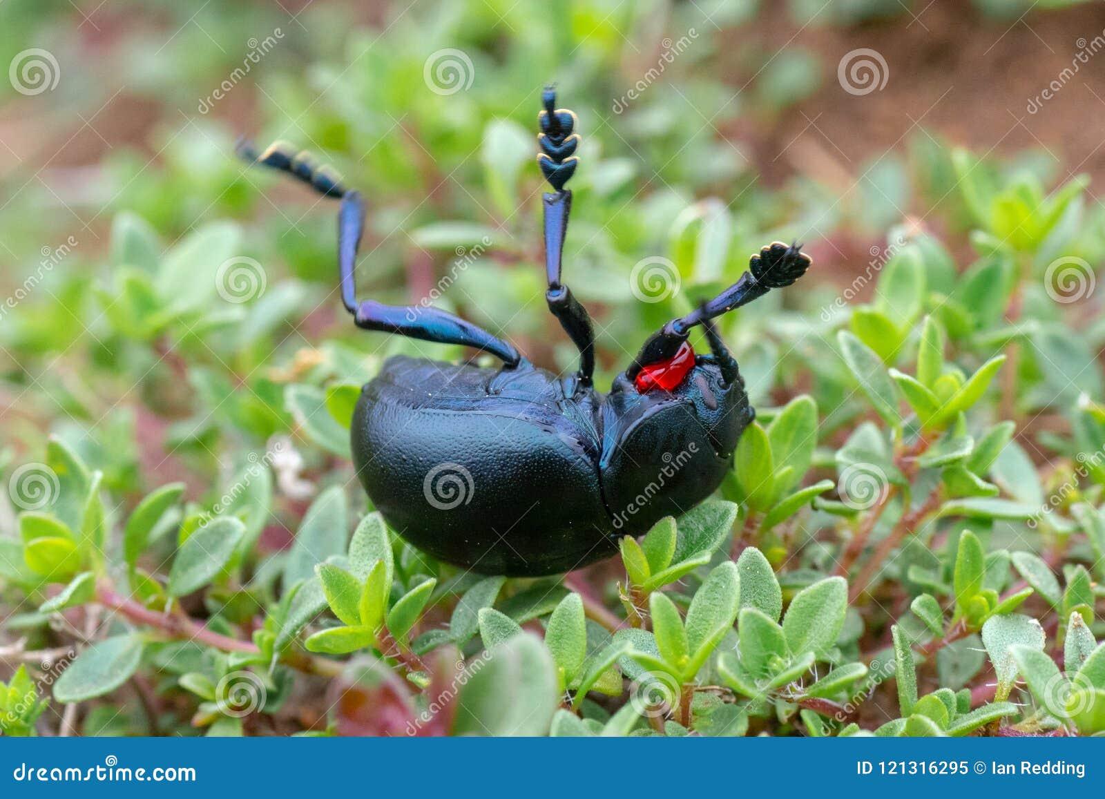 Resposta Ensanguentado-cheirada do defensivo do tenebricosa de Timarcha do besouro