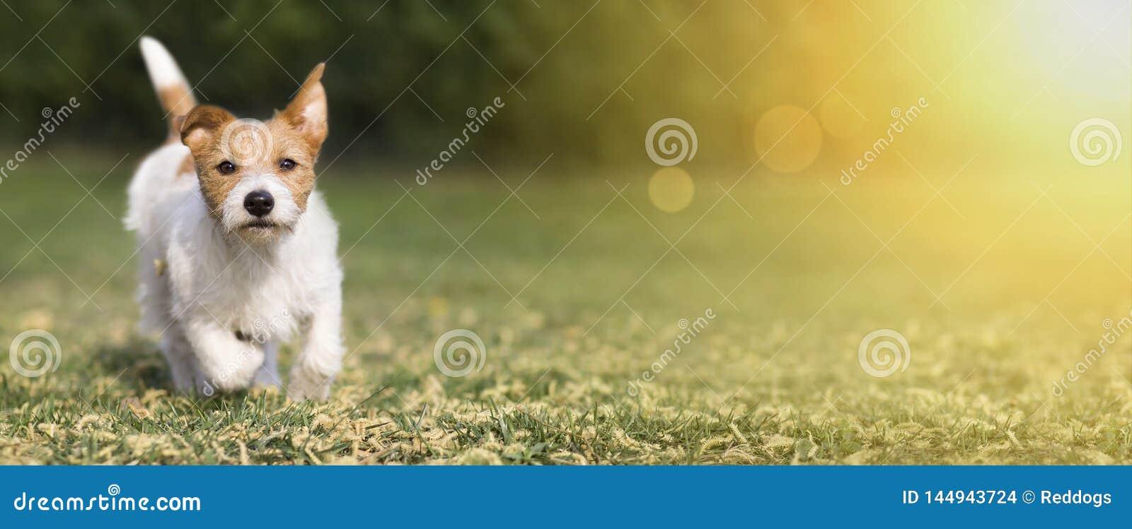 Ressort, concept d été - chiot heureux mignon de chien jouant dans l herbe, bannière de Web