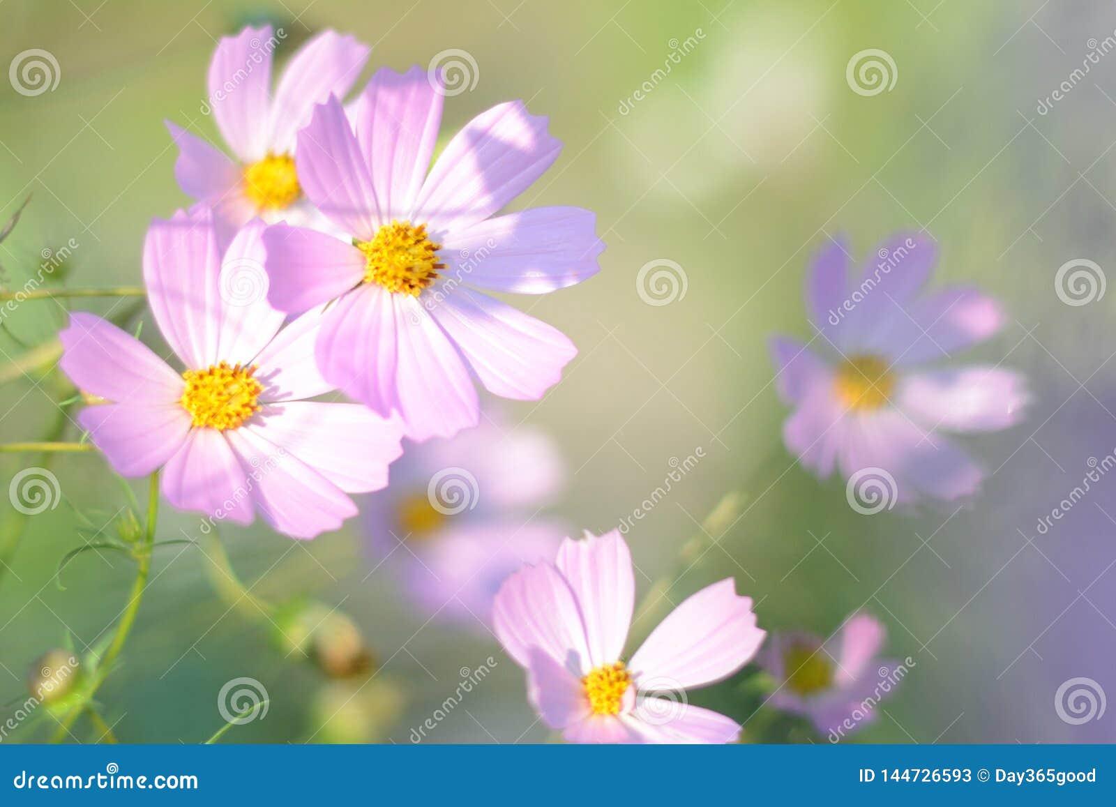 Ressort de foyer et fond mous d été Le rose fleurit la fleur de cosmos dans la lumière de matin Champ de fleur de cosmos en so