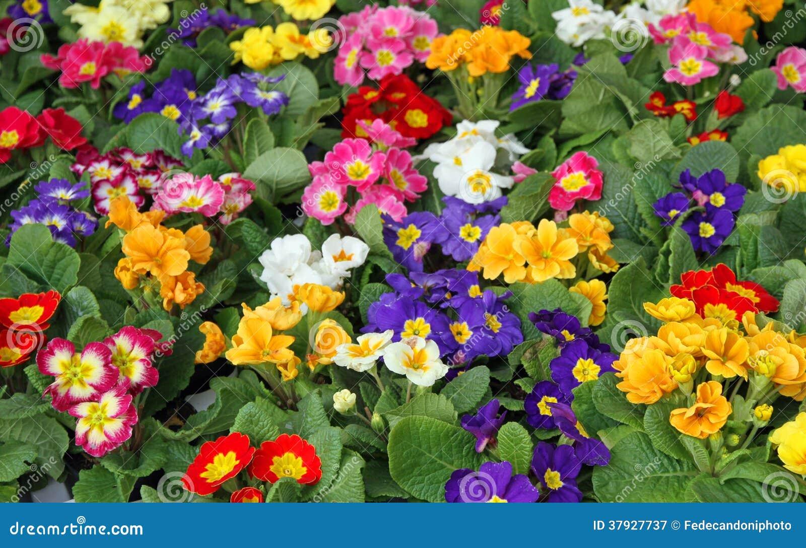 Ressort de primev re de beaucoup de fleurs dans la vente for Vente des fleurs en ligne