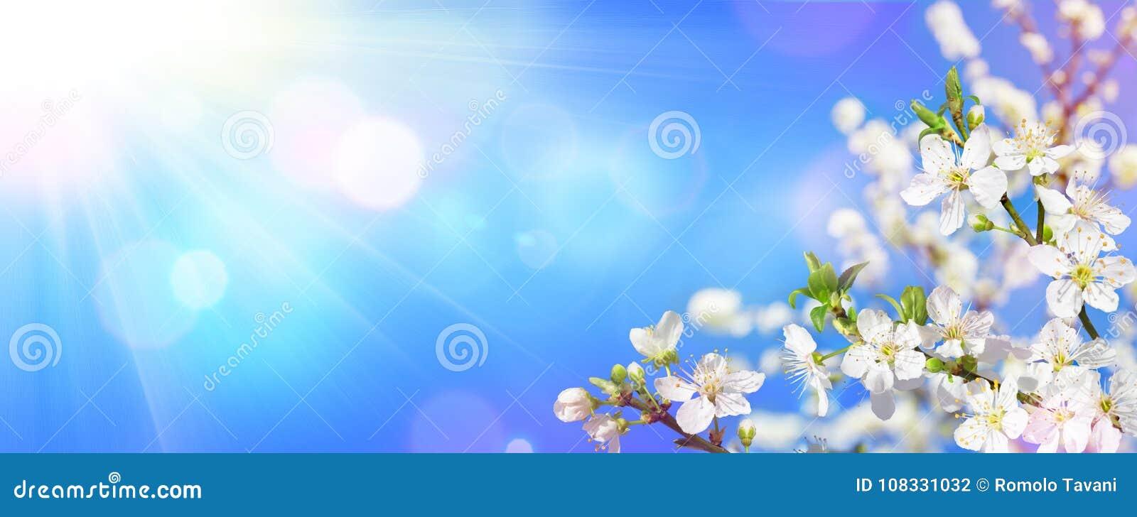 Ressort fleurissant - lumière du soleil sur des fleurs d amande