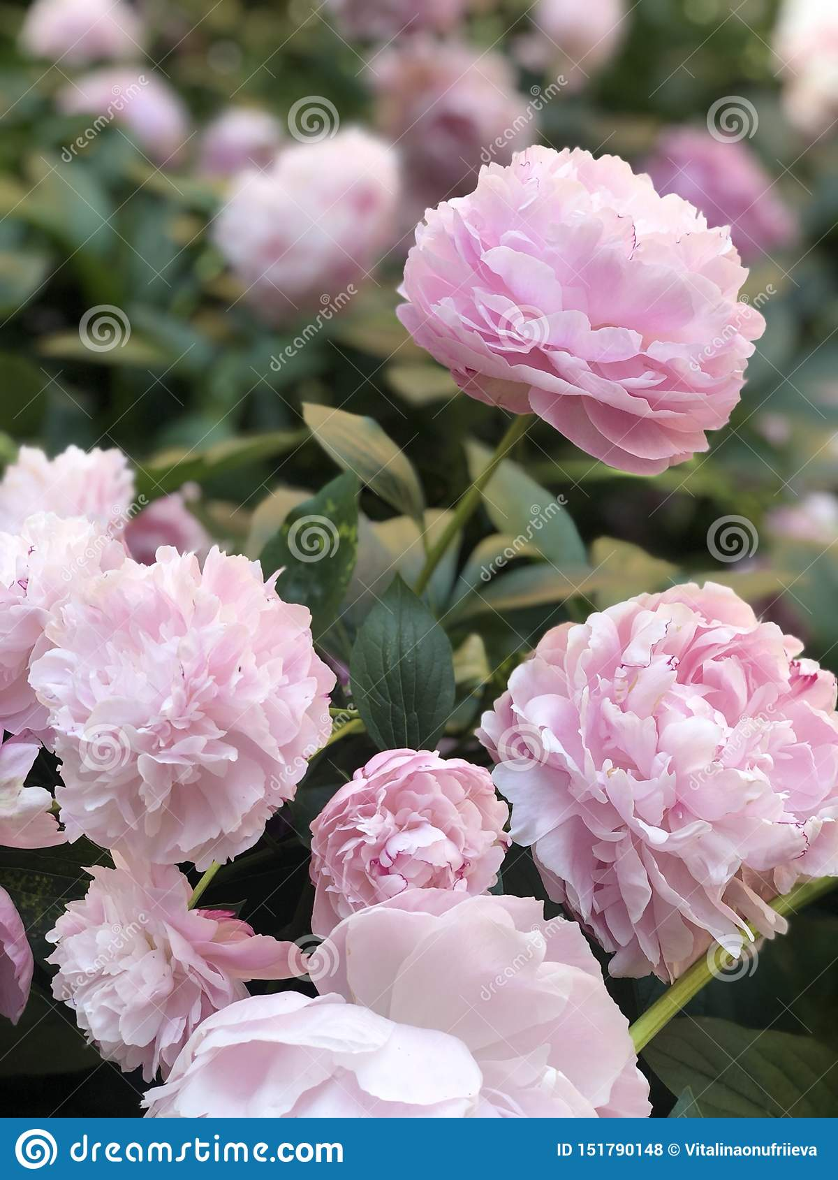 Ressort, tendresse de fleurs, rose, pivoines