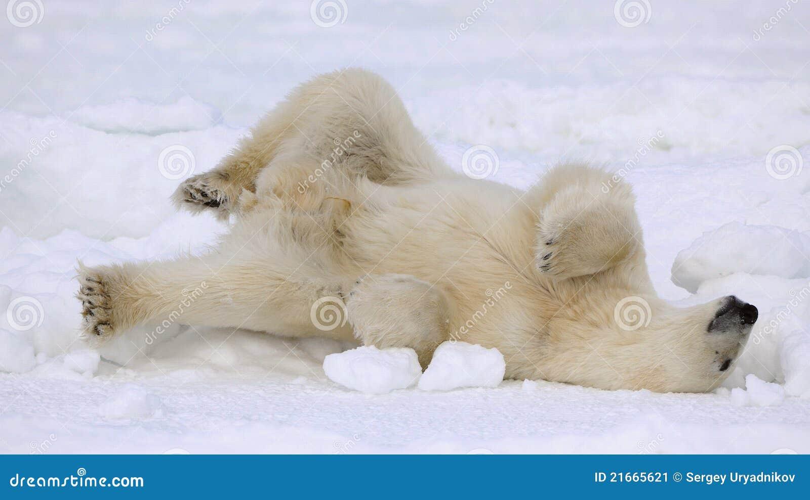 Rest of a polar bear.