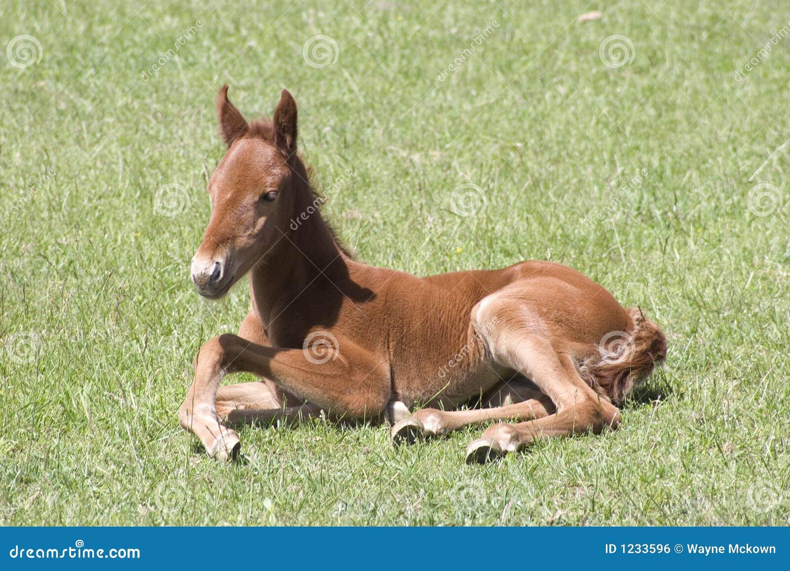 A resting colt