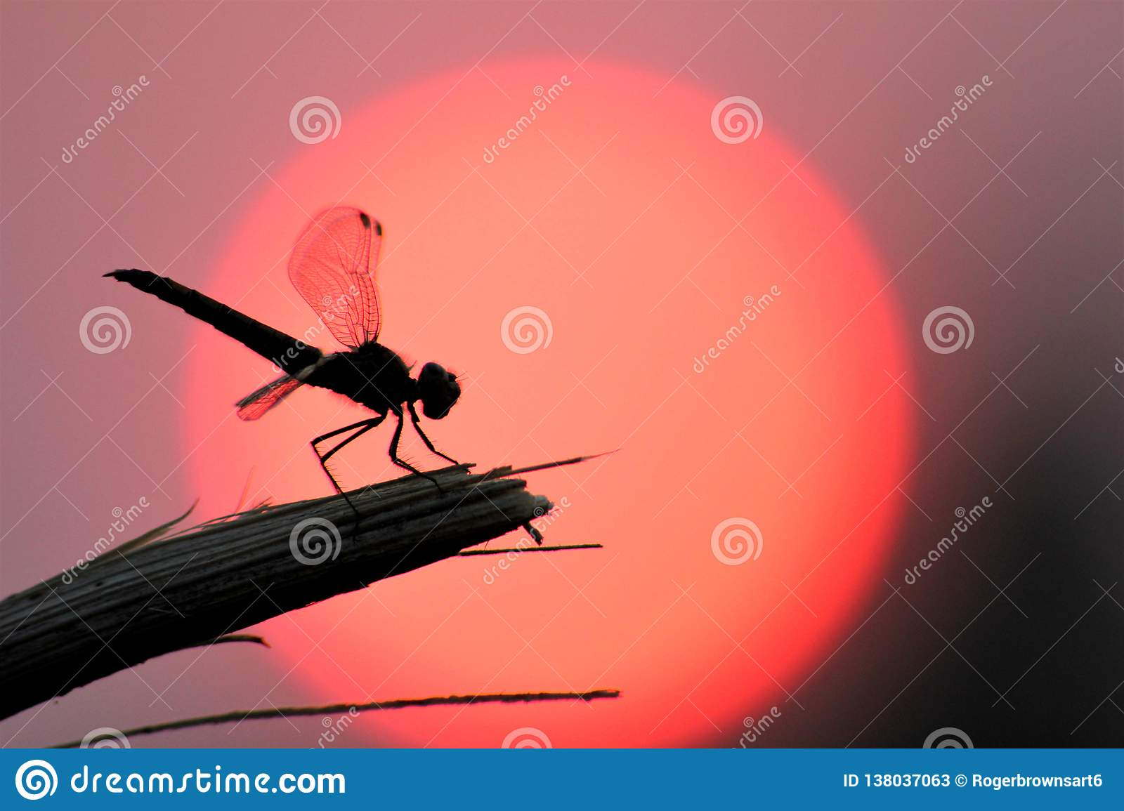 Dragonfly resting in front of the setting sun.