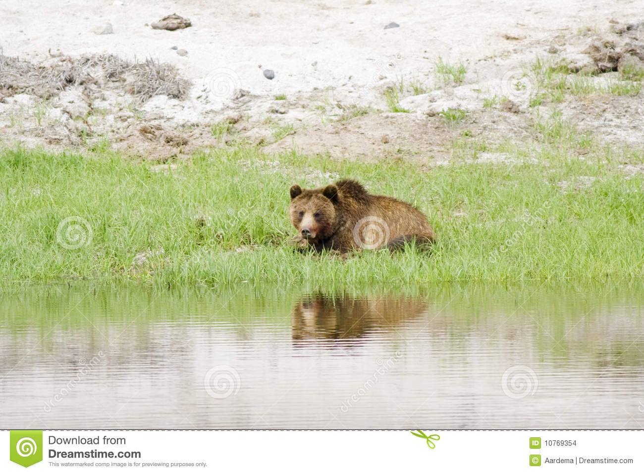 grizzly bear resting in - photo #10