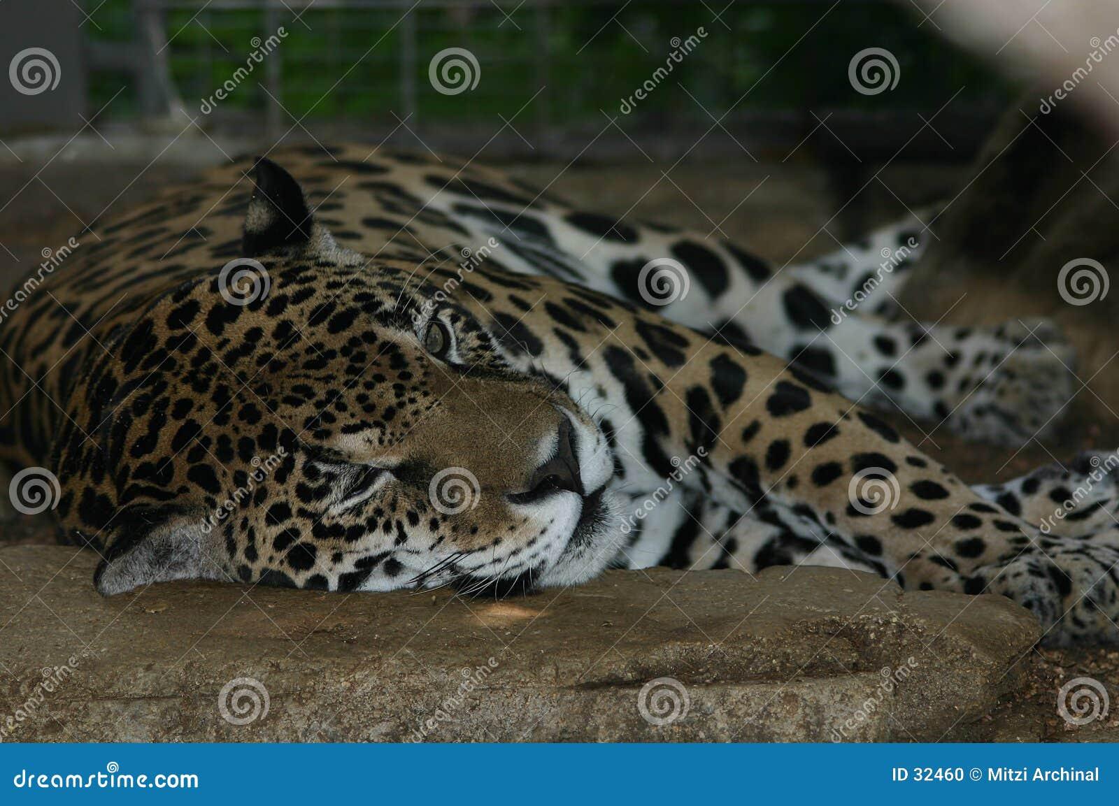 Resting jaquar