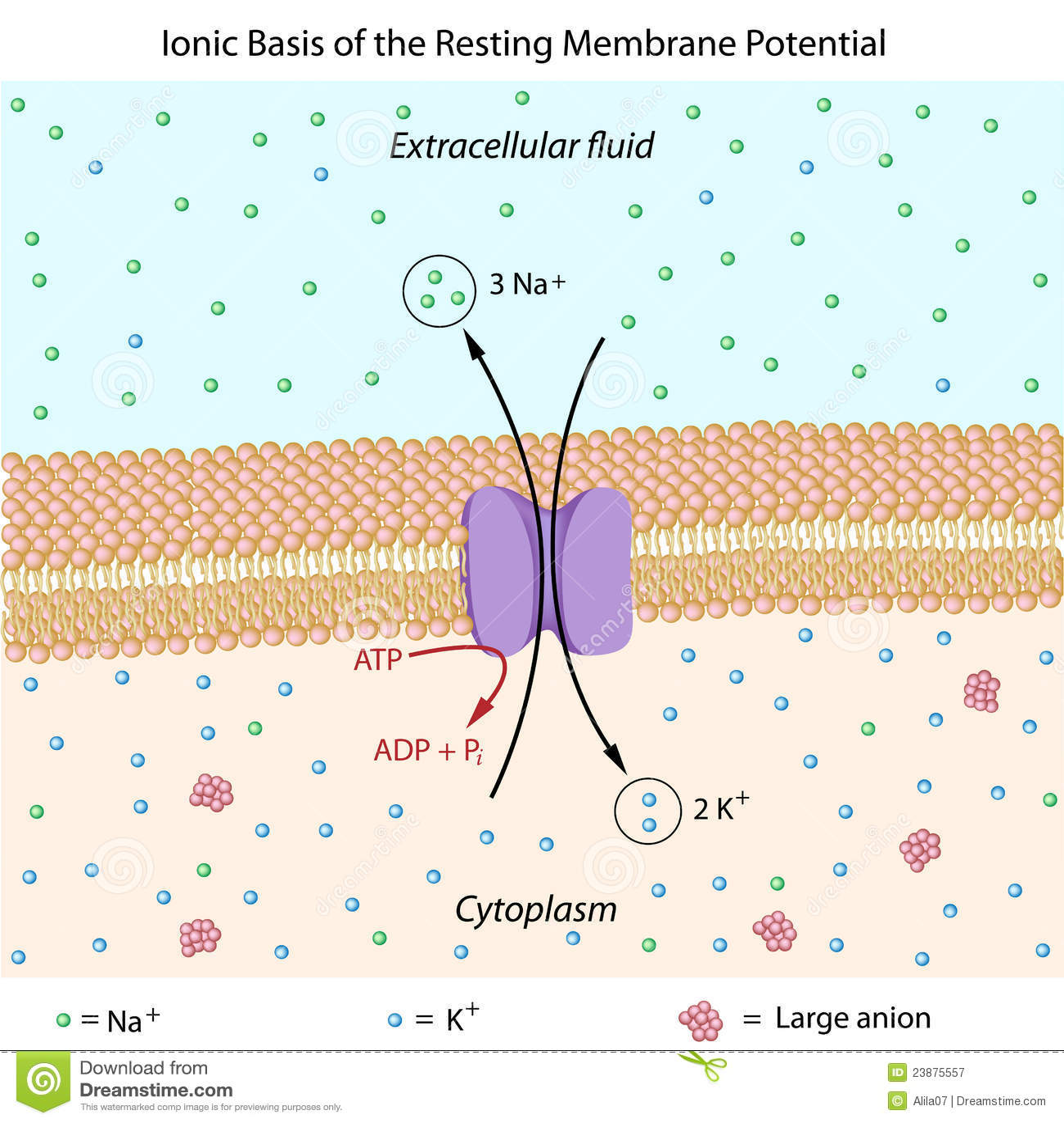 Resting membrane potential stock vector. Illustration of ...