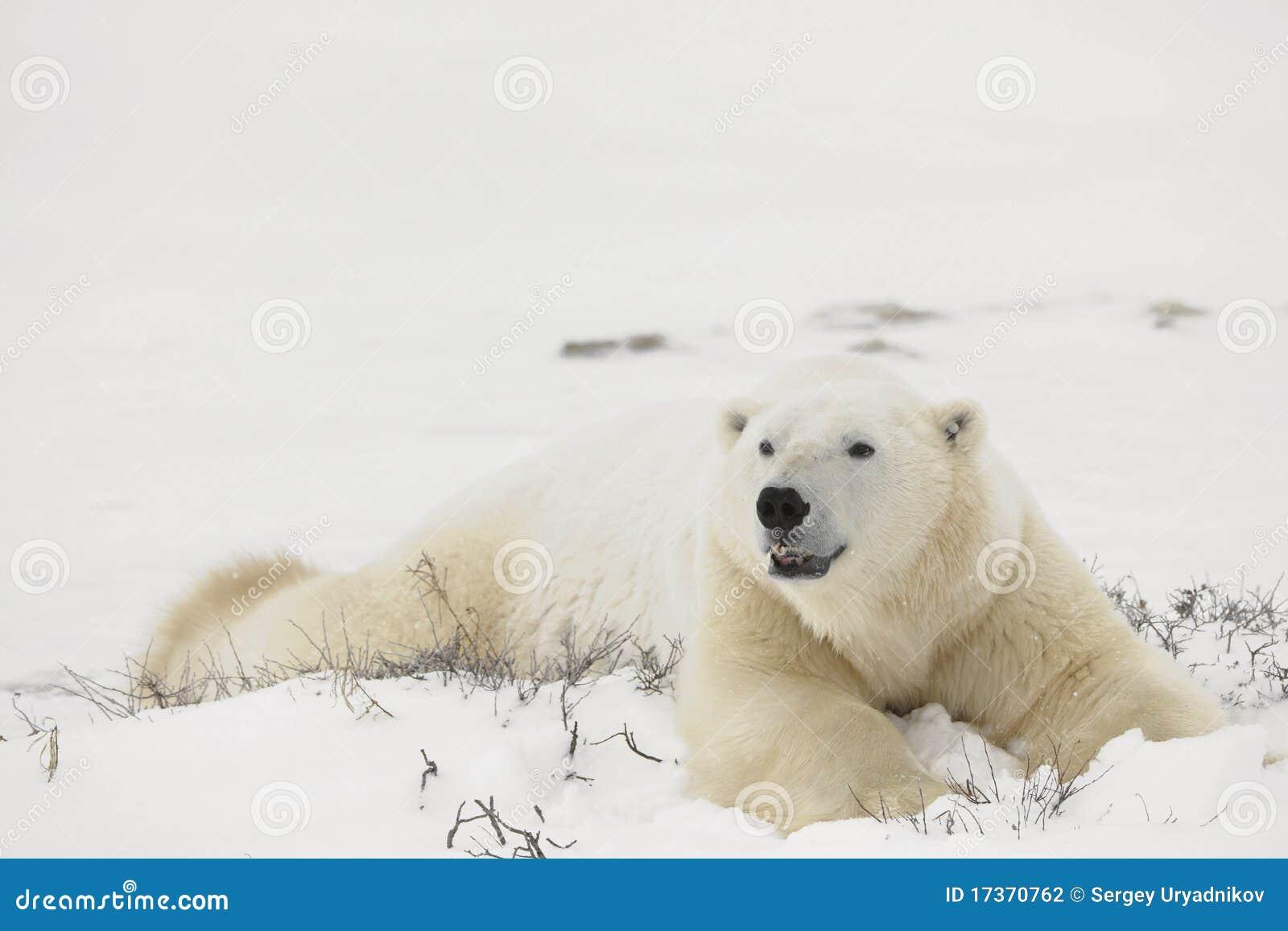 Resto de osos polares.