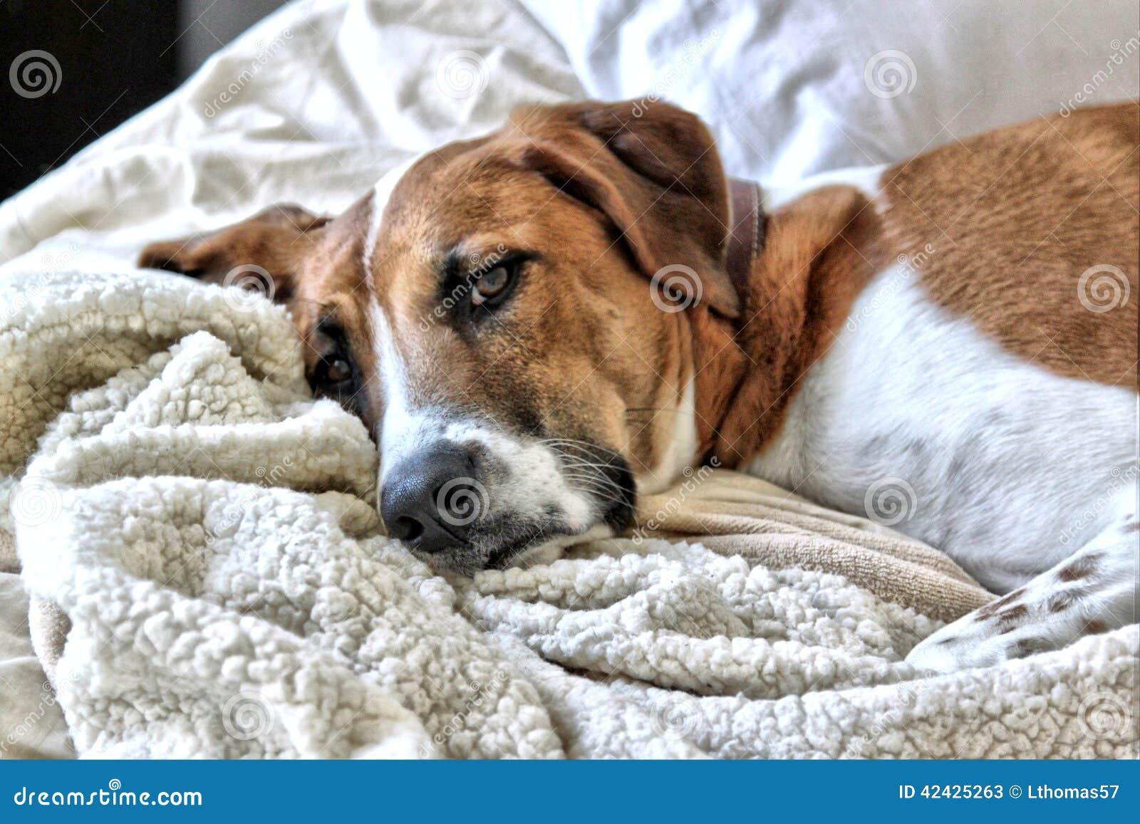 Restos del perro del leopardo de Catahoula en la cama