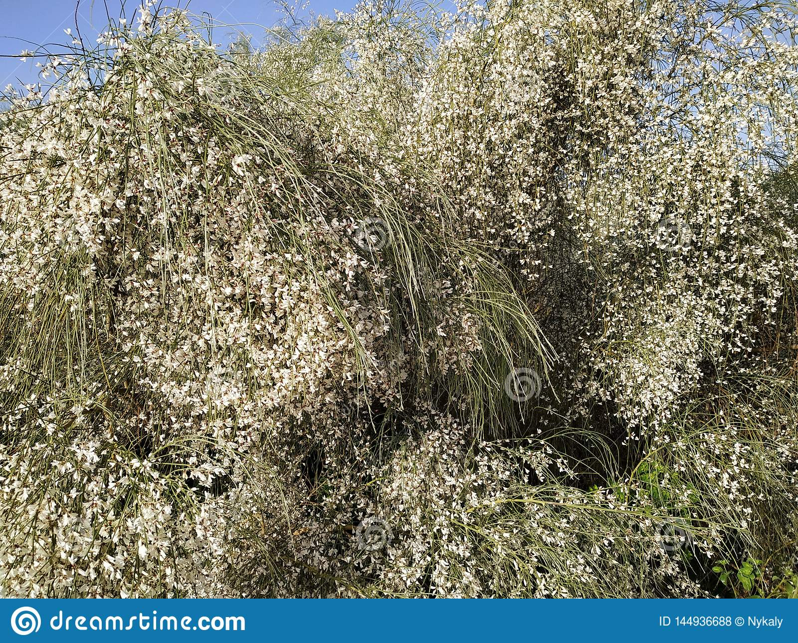 Retama of white flowers in Isla Cristina, Spain. It is a typical species of the coasts of the Iberian southwes