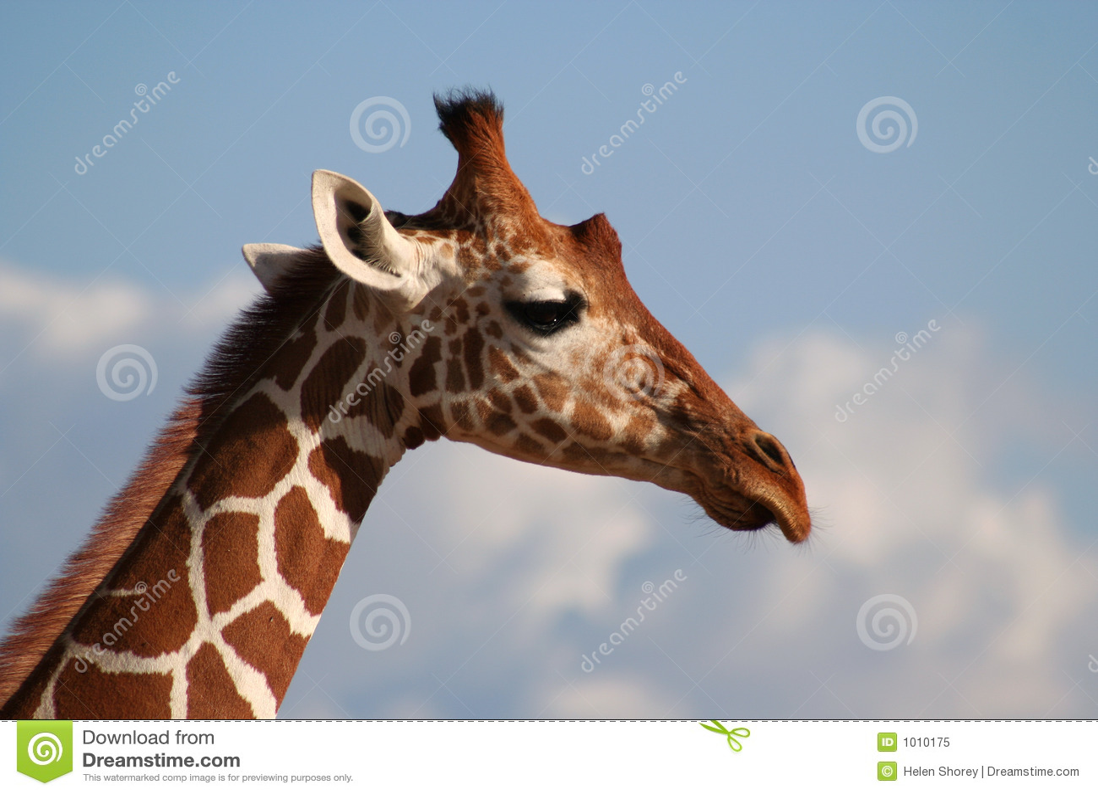 Reticulated Giraffe He...