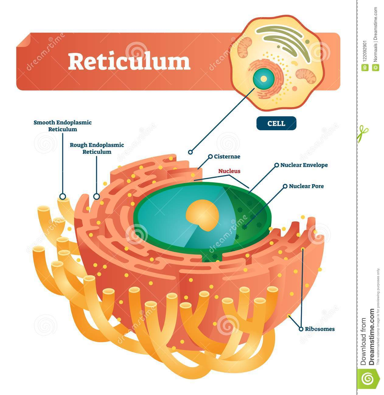 Smooth and rough endoplasmic reticulum diagram labeled wiring reticulum labeled vector illustration scheme anatomical diagram rh dreamstime com cell wall diagram mitochondria diagram with labels ccuart Gallery
