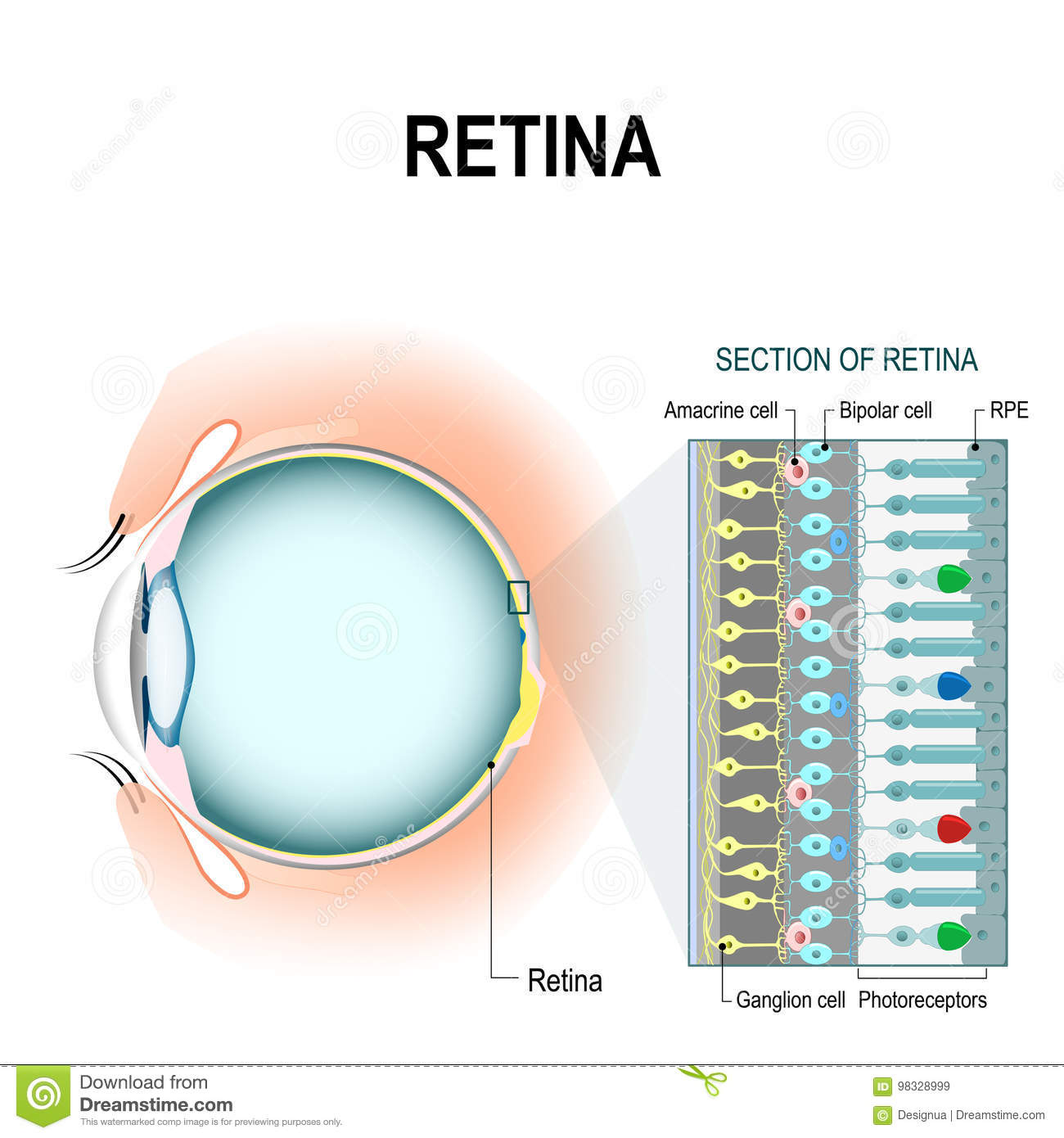 Retinal Cells: Rod And Cone Cells Stock Vector - Illustration of ...