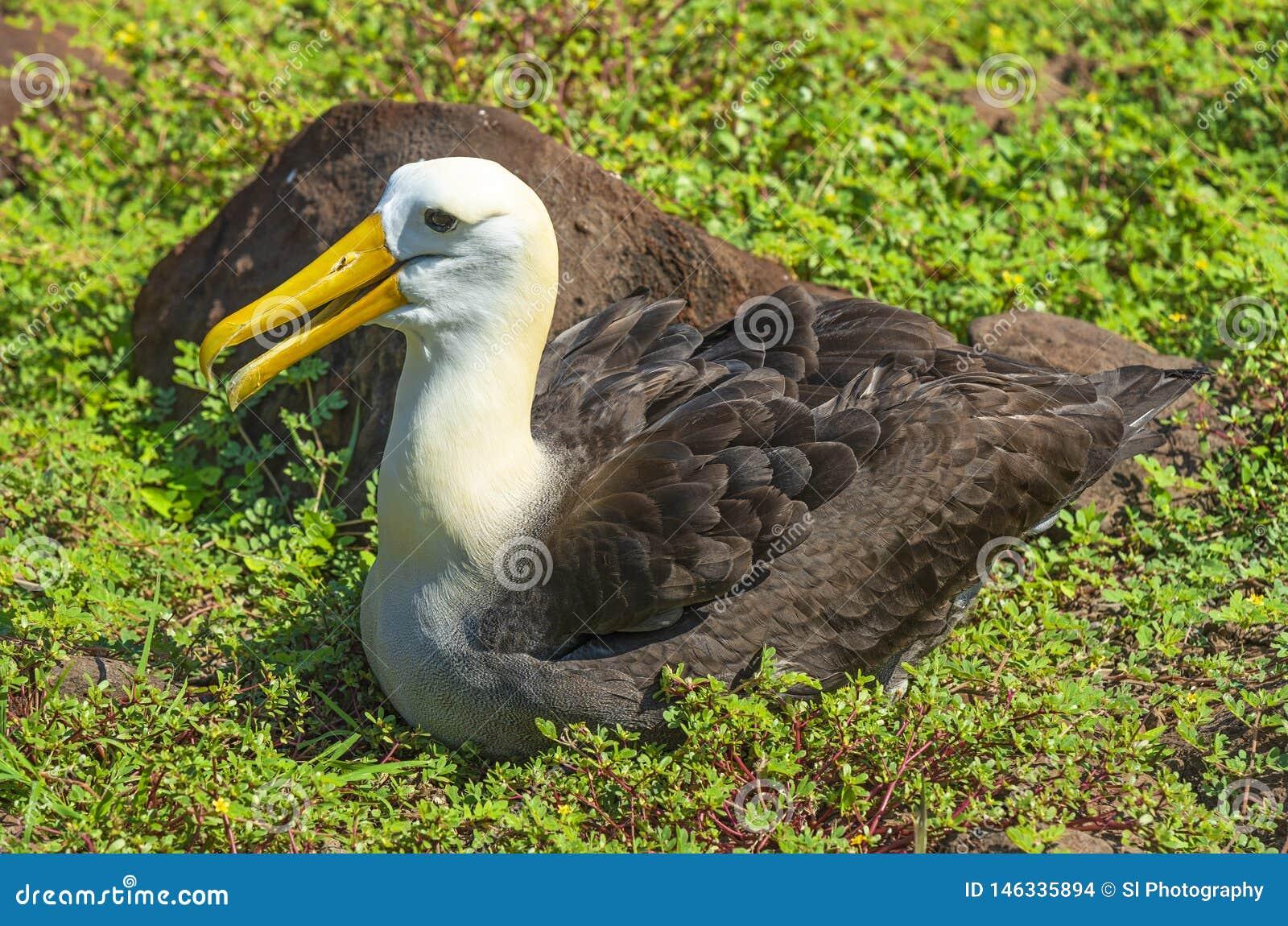 Retrato agitado del albatros, las Islas Gal?pagos, Ecuador