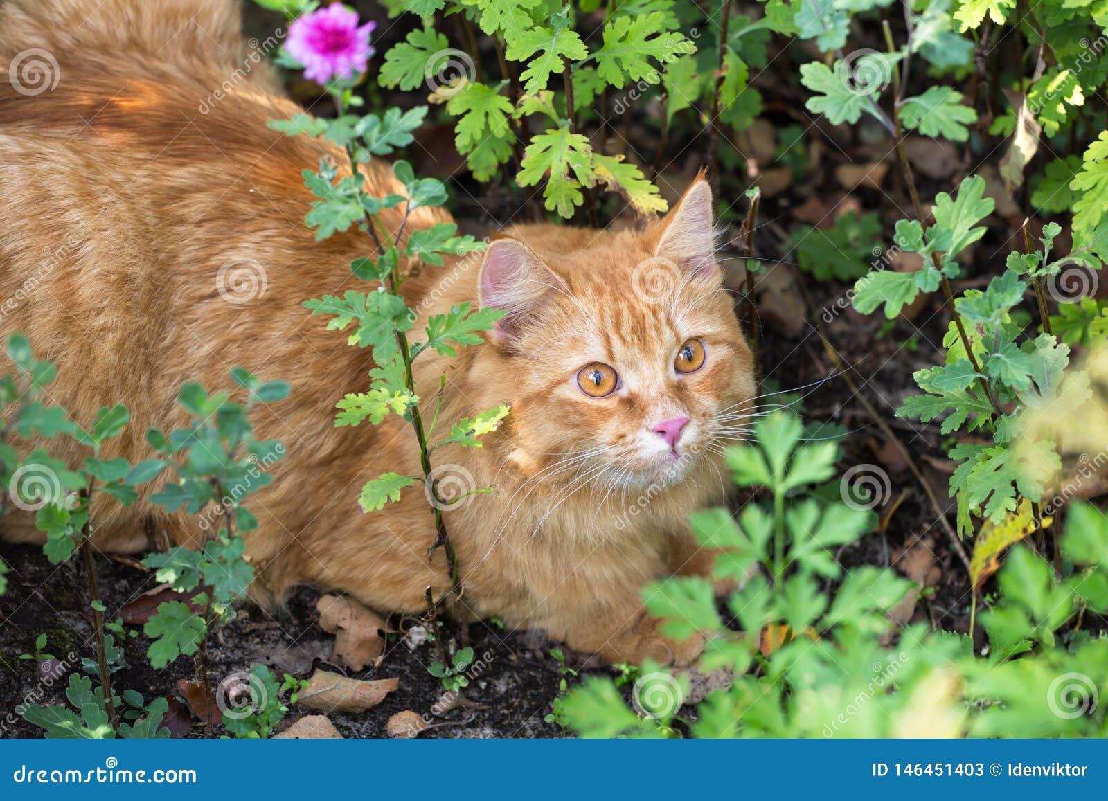 Retrato anaranjado hermoso del gato con mirada de la penetración al aire libre en naturaleza en hierba verde