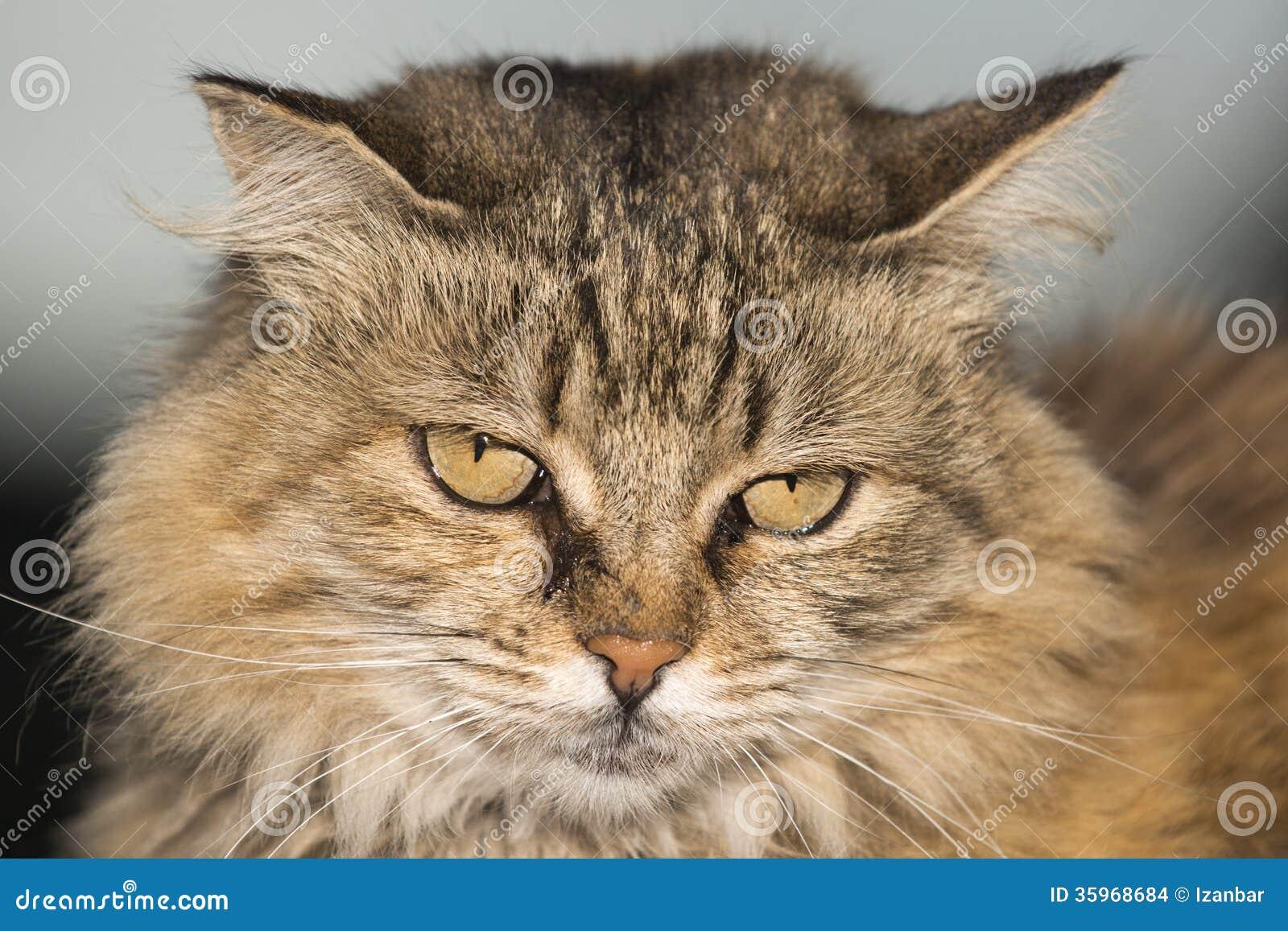 Retrato ascendente cercano del gato